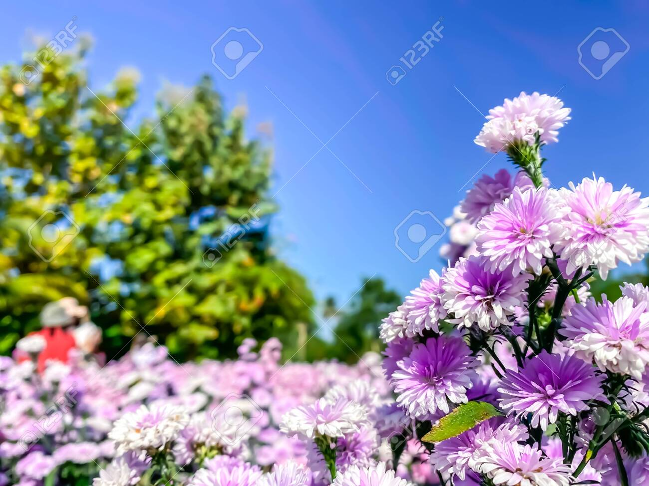 Beautiful Flowers Blooming Field In Farm Nature Wallpaper Backgrounds Stock Photo Picture And Royalty Free Image Image 138458411
