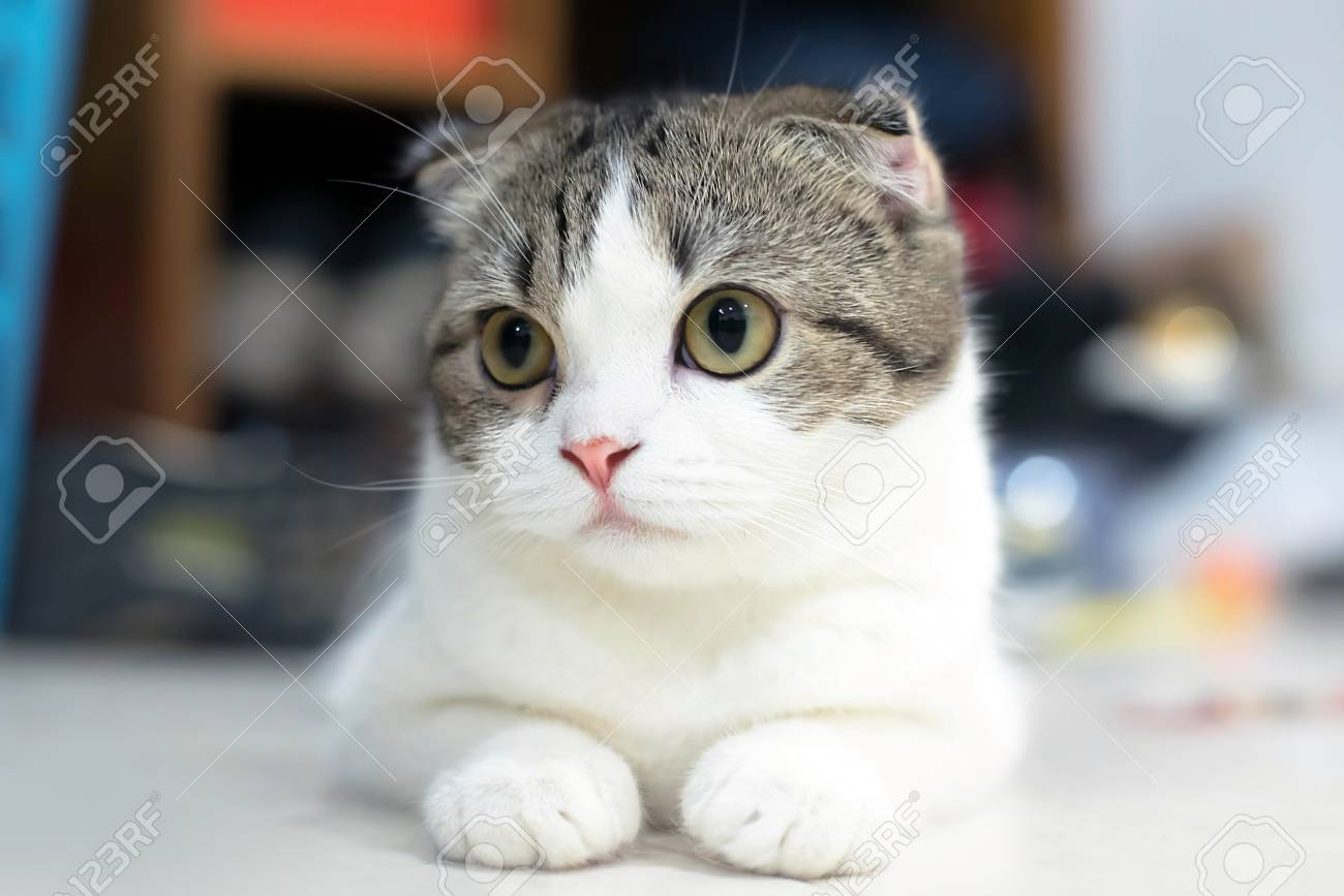 White And Grey Cat Animal Scottish Fold Cute Cat Sweet Close Stock Photo Picture And Royalty Free Image Image 78157708