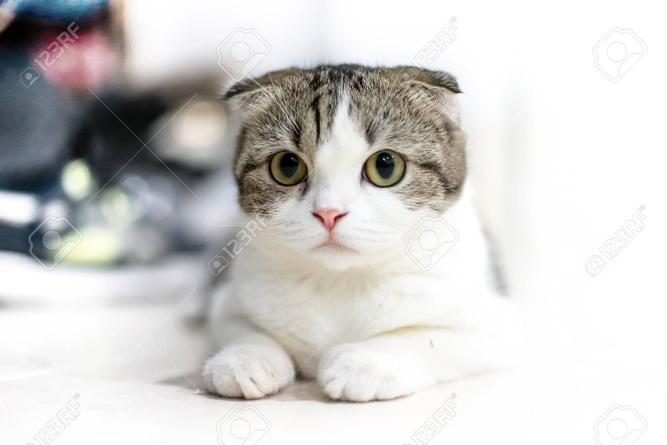 White And Grey Cat Animal Scottish Fold Cute Cat Sweet Close Stock Photo Picture And Royalty Free Image Image 78157729