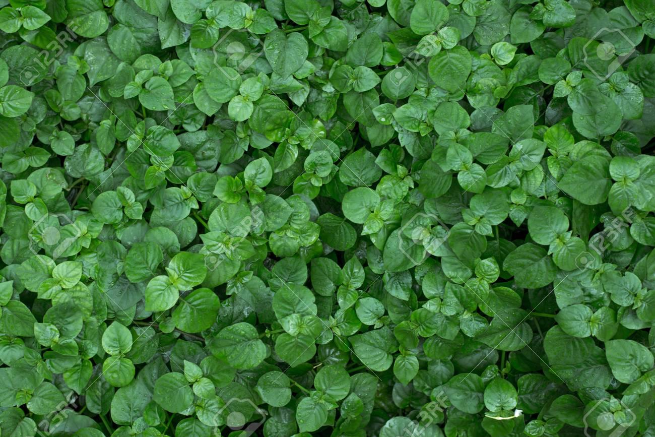 Immagini Stock Bello Sfondo Verde Foglie Giardino E Muro Verde