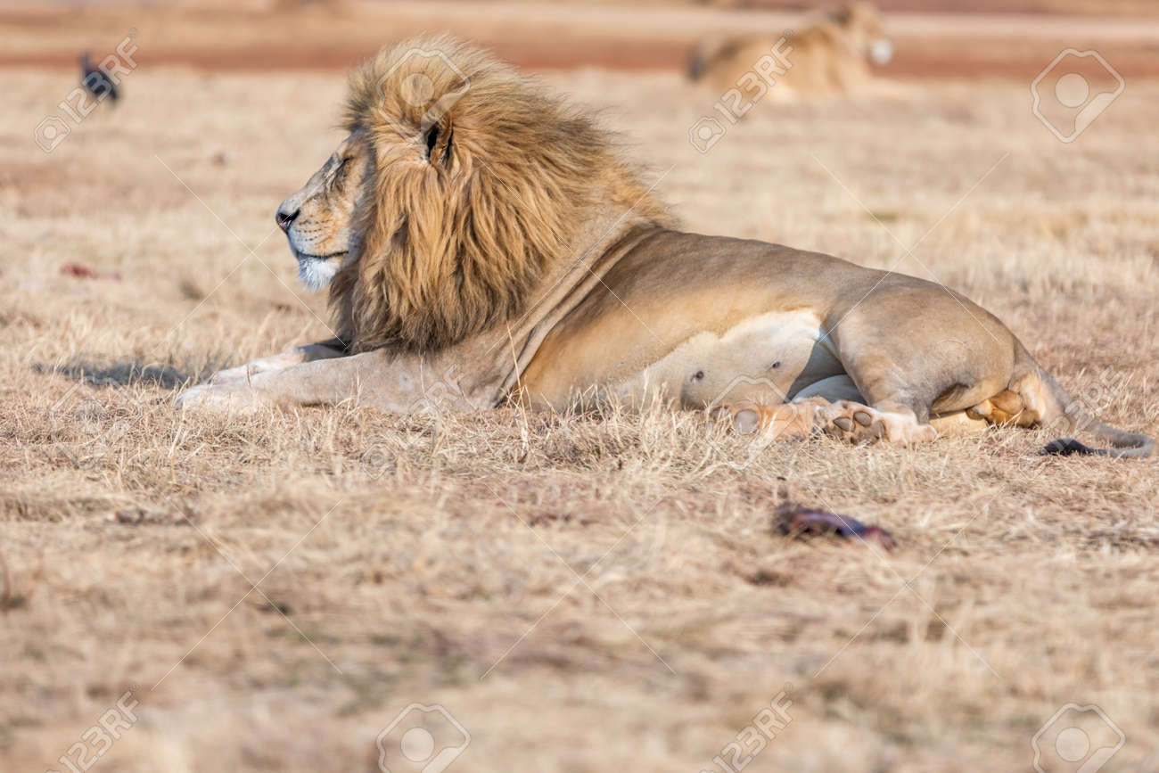 White male lion in South Africa. Amazing Animal in savanna. - 149831302