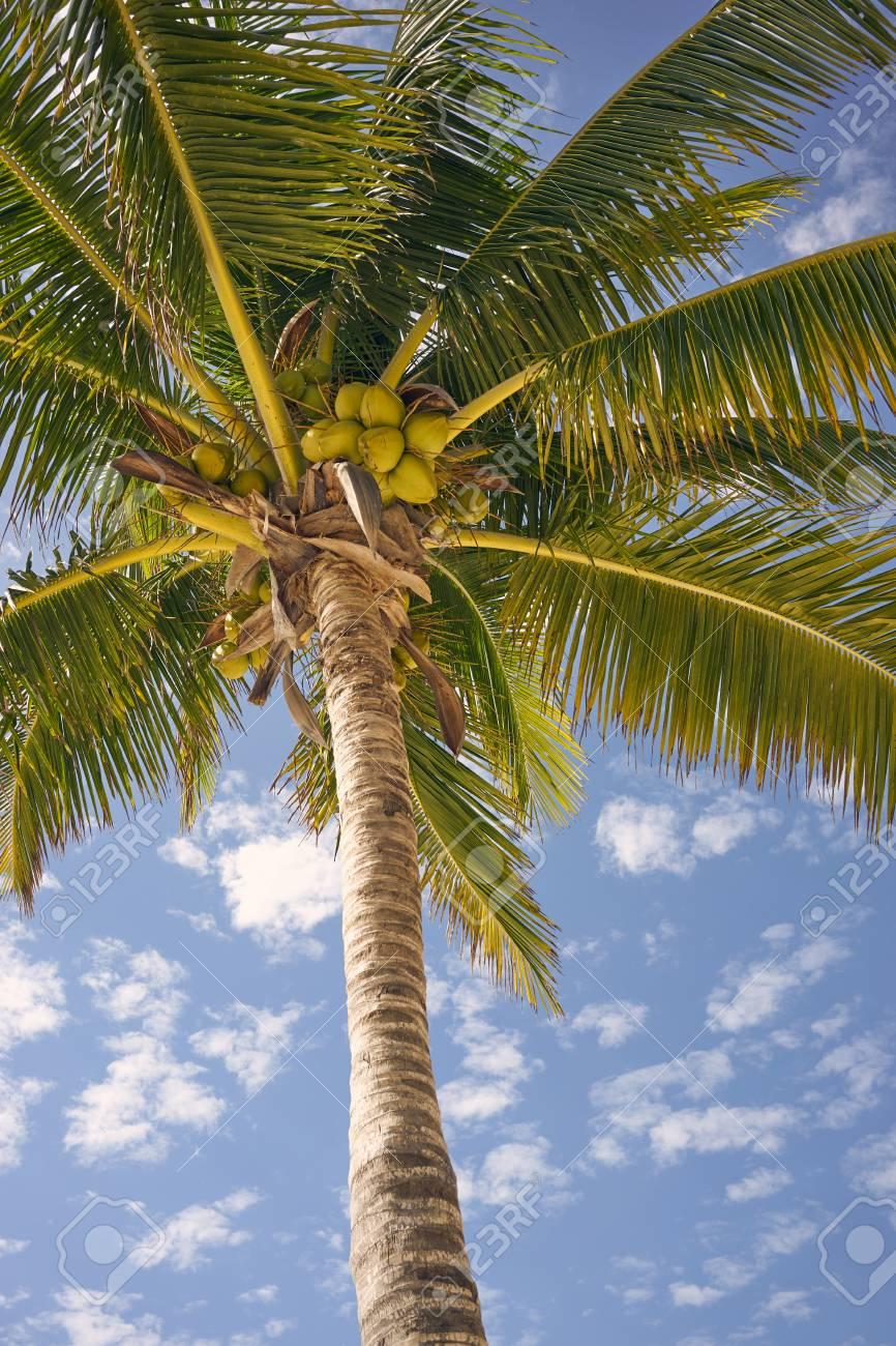 Palmera De Coco. Palmera De Coco With Palmera De Coco. Palma De Coco ...