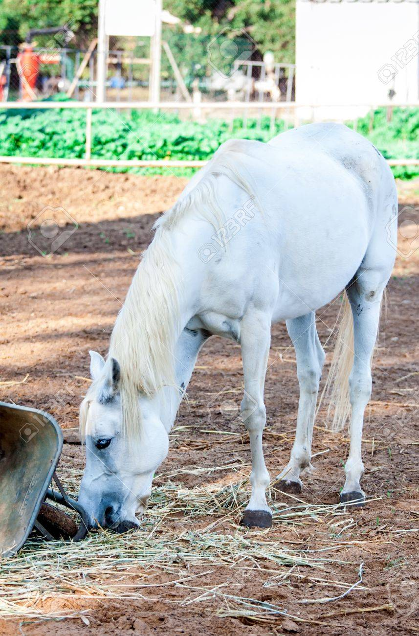 Cute White Horse Eating Grass In Summer Stock Photo Picture And Royalty Free Image Image 21870317