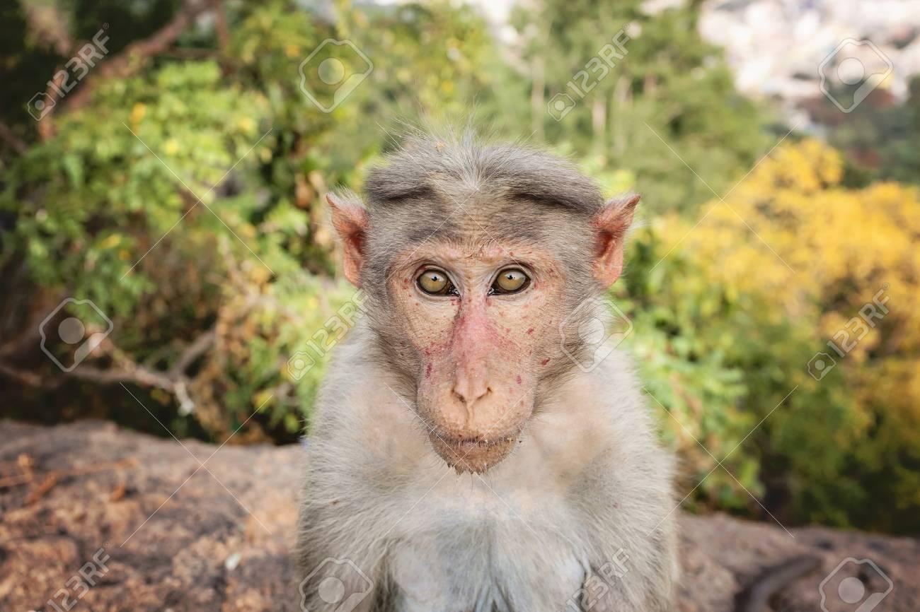 Rhesus Macaque little monkey at Arunachala mountain in Tiruvannamalai, Tamil Nadu, India - 111918147