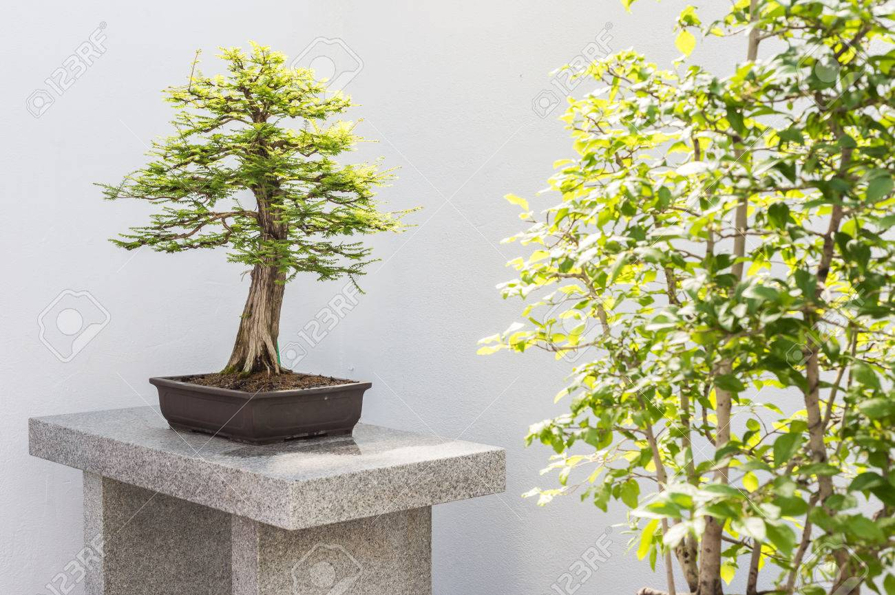 Bald Cypress Bonsai For Sale Best 2018 Wiring Defoliation And Potting South