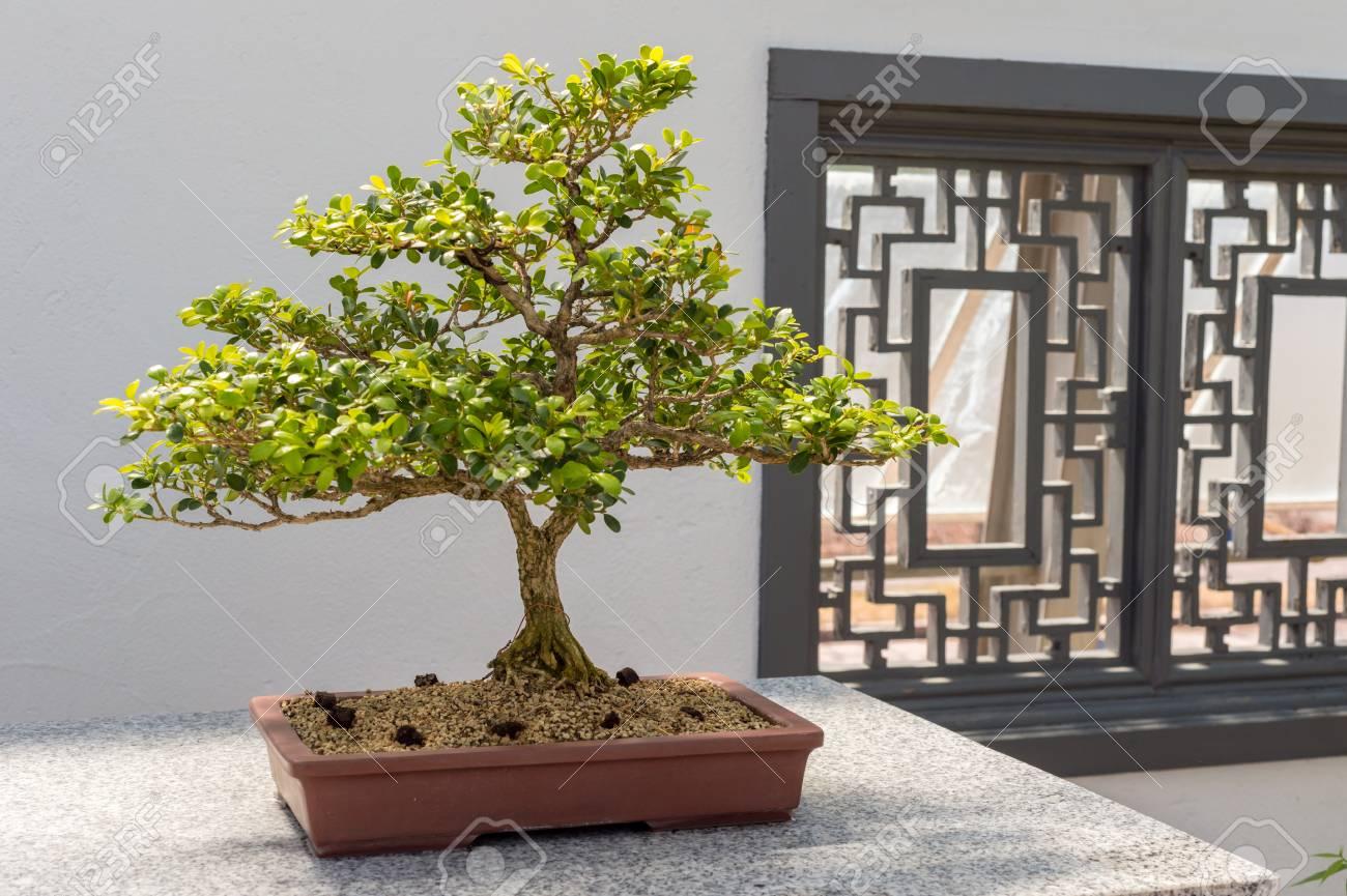 40 Yo Chinese Boxwood Bonsai Buxus Sinica Stock Photo Picture And Royalty Free Image Image 61253154
