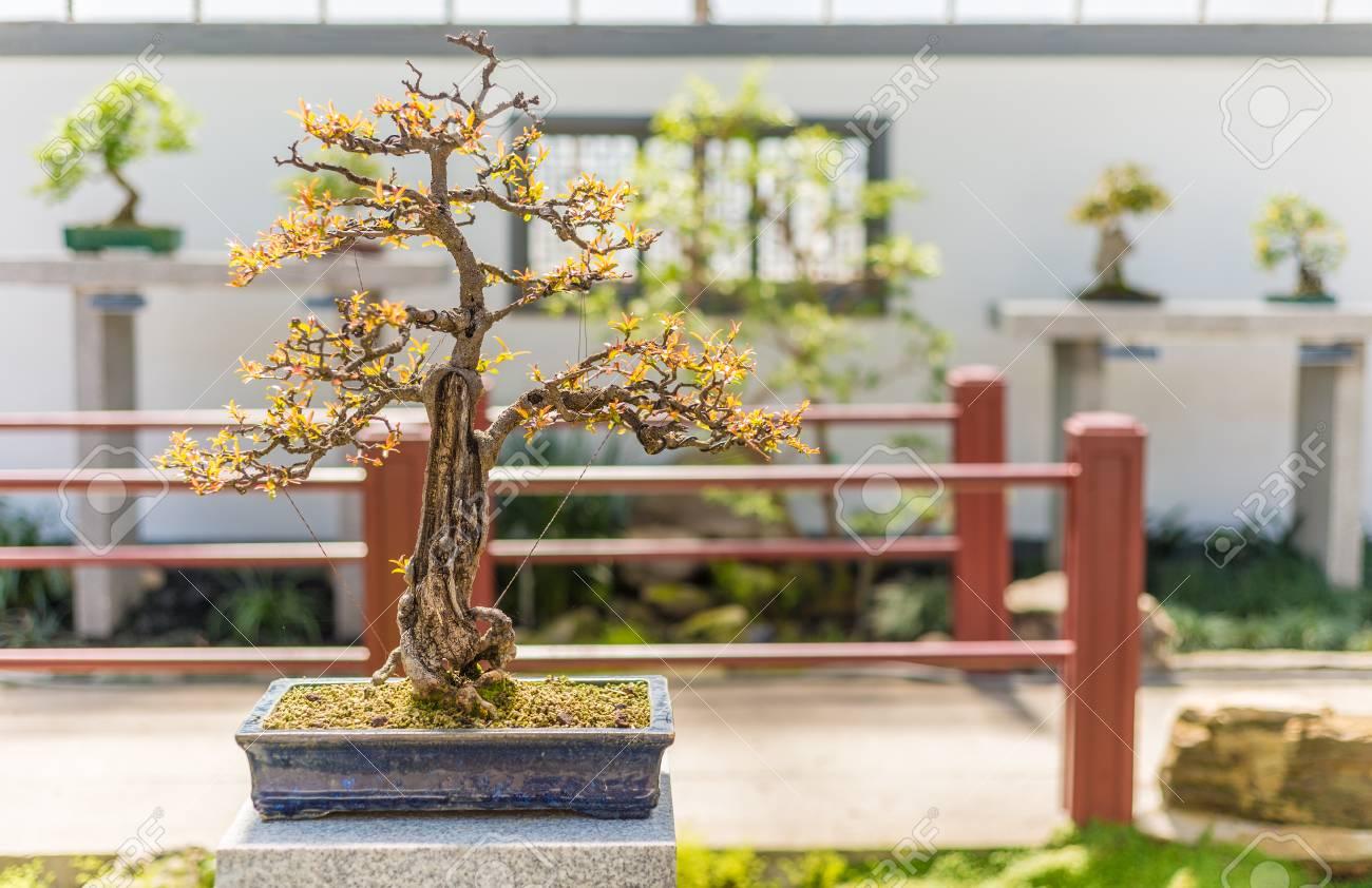 75 Yo Pomegranate Bonsai Punica Granatum Nana Stock Photo Picture And Royalty Free Image Image 61256231