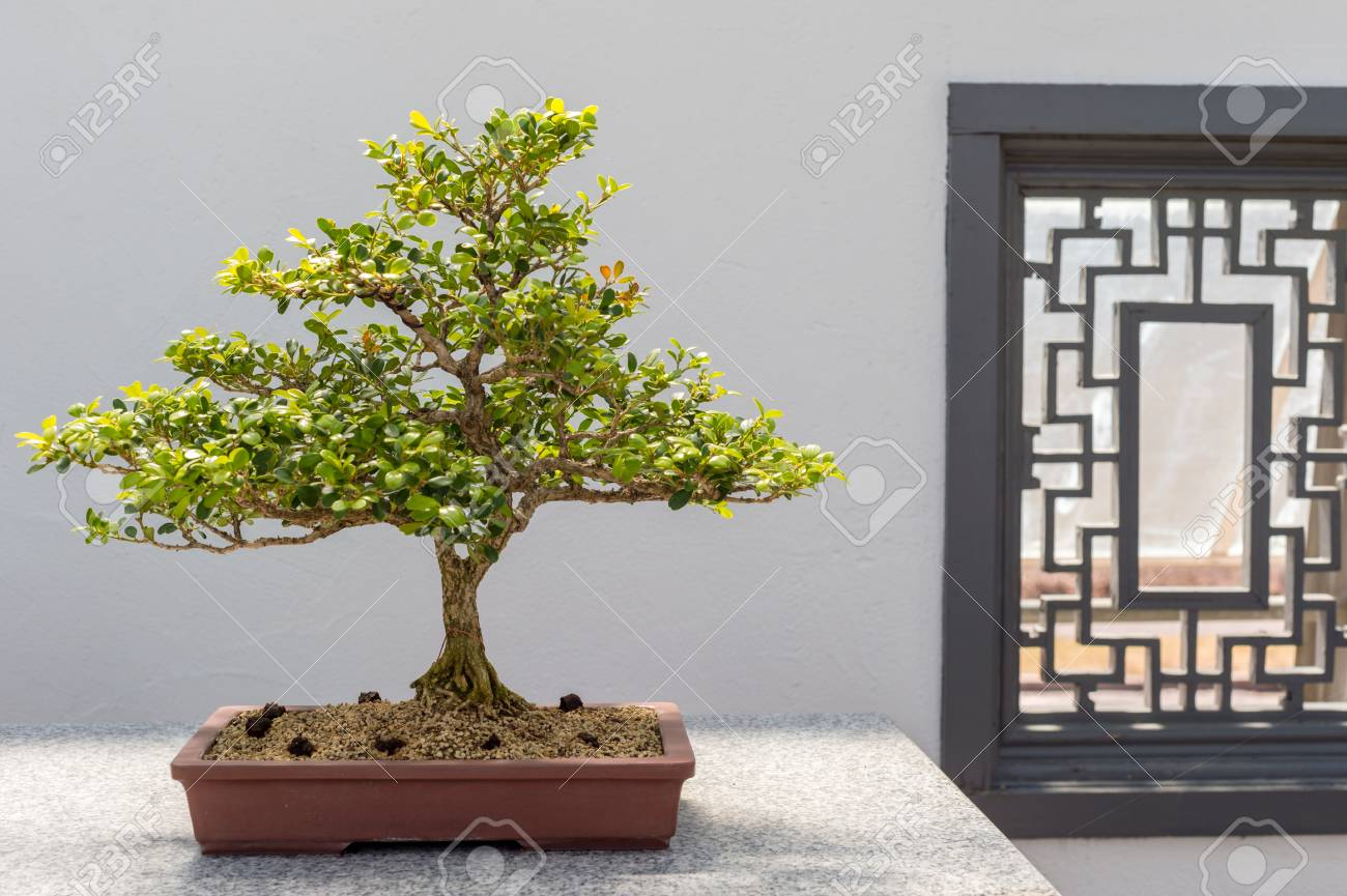 40 Yo Chinese Boxwood Bonsai Buxus Sinica Stock Photo Picture And Royalty Free Image Image 61253675