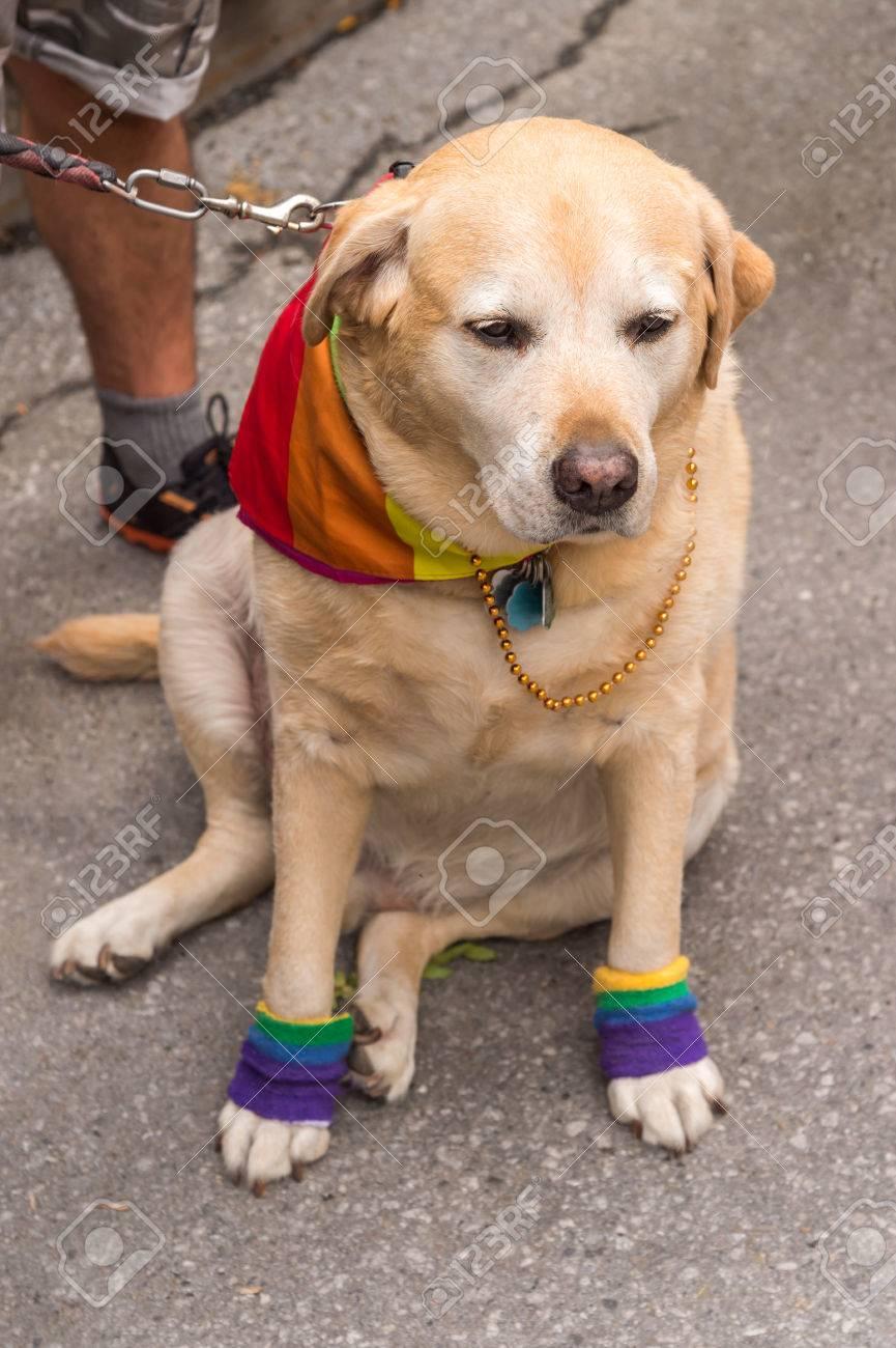 Are labrador retrievers all gay