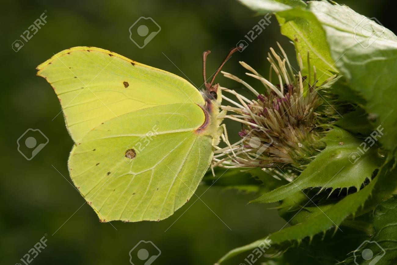 Gonepteryx rhamni Stock Photo - 12035700
