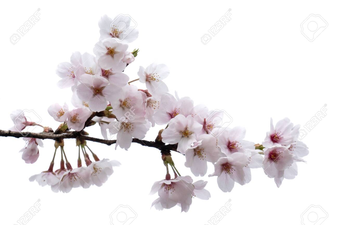 Cherry Blossom Sakura Branch With Flowers Isolated On White Stock Photo Picture And Royalty Free Image Image 127786680