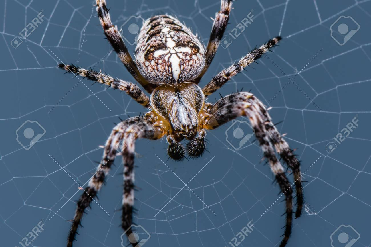 The Garden cross spider sitting on web , front side , portrait..
