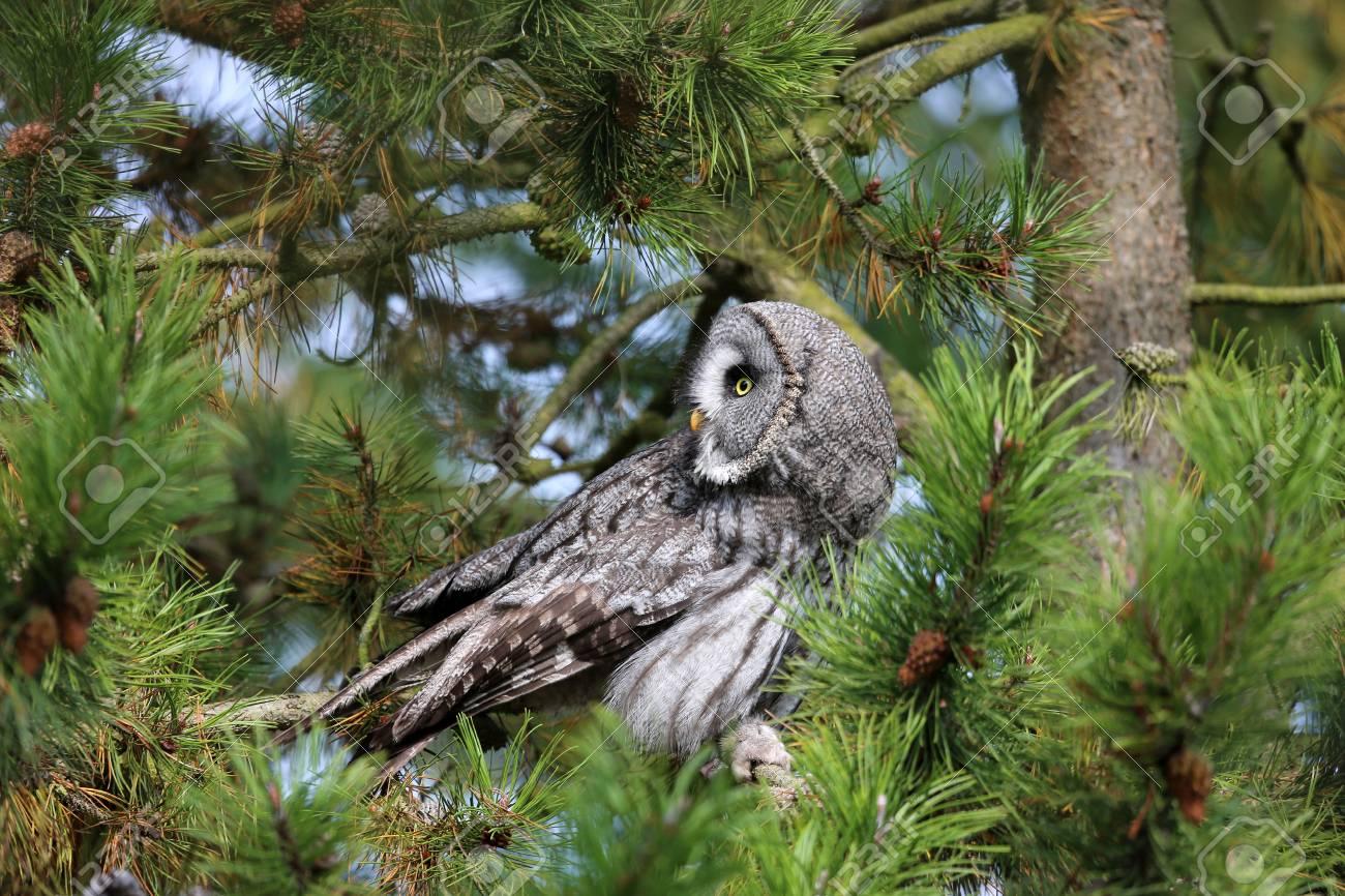 Great Gray Owl Stock Photo - 16018388