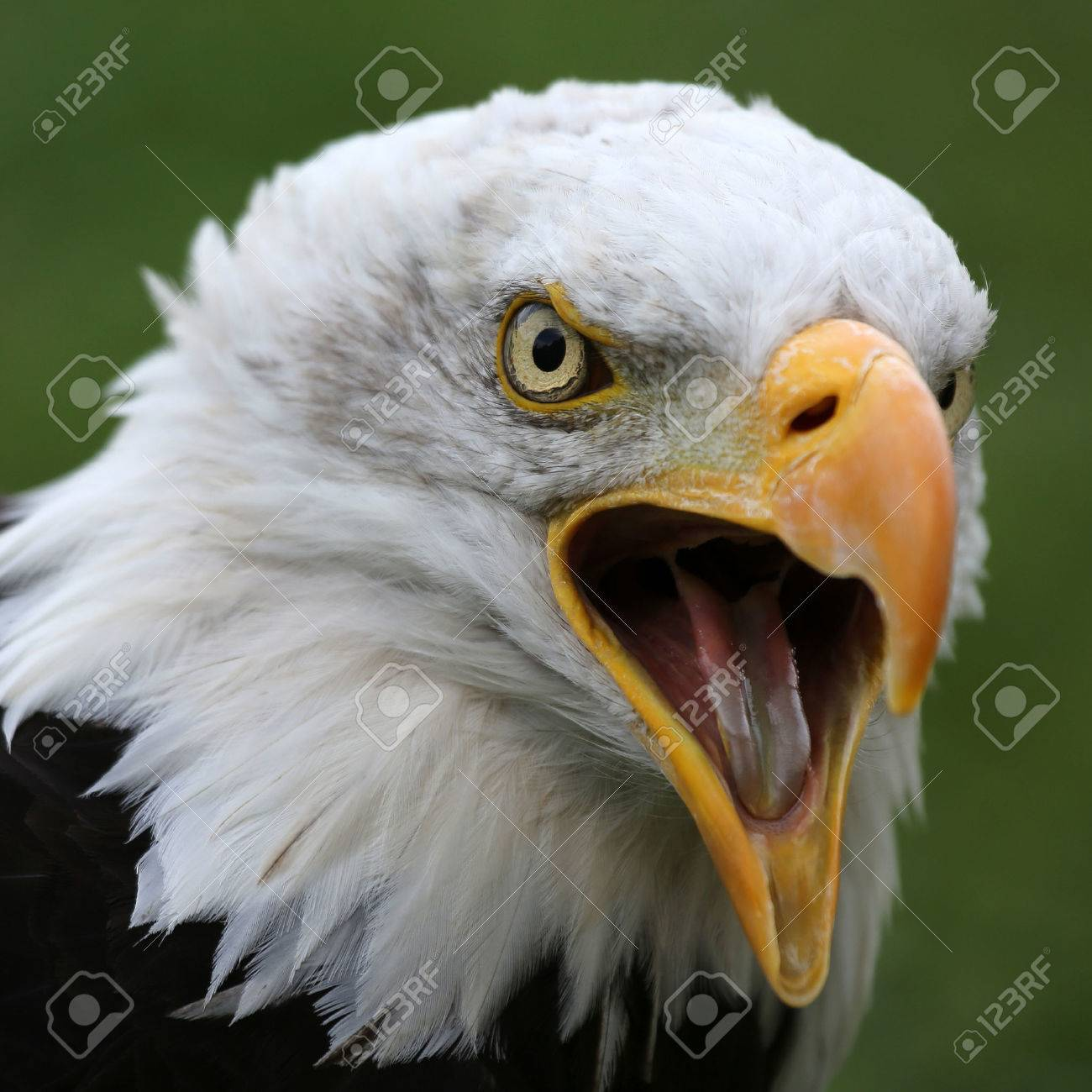 American Bald Eagle Stock Photo, Picture And Royalty Free Image ...