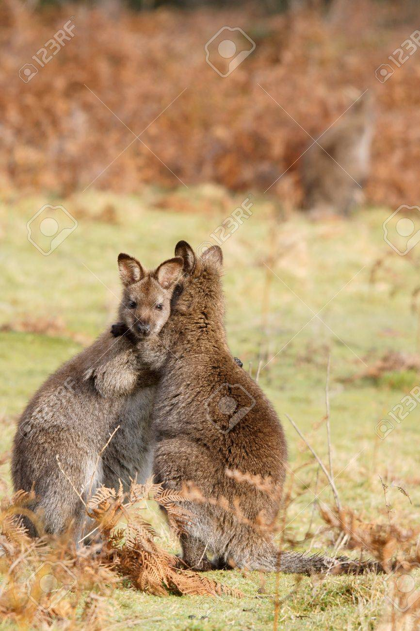 Two Wallabies Are Playing In Tasmania Australia Stock Photo Picture And Royalty Free Image Image 17873596