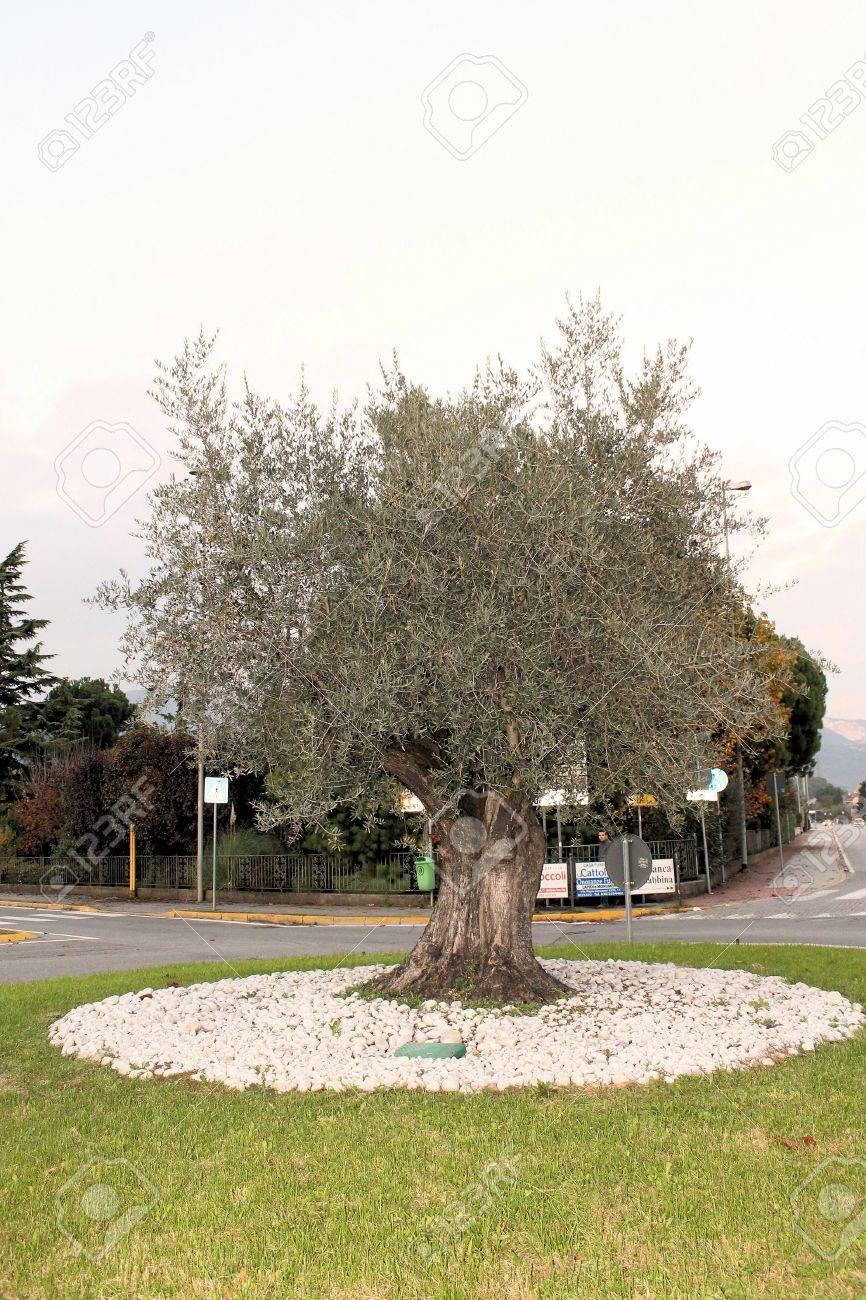 Olive tree on a roundabout as a symbol of agriculture stock photo olive tree on a roundabout as a symbol of agriculture stock photo 24050148 buycottarizona Choice Image