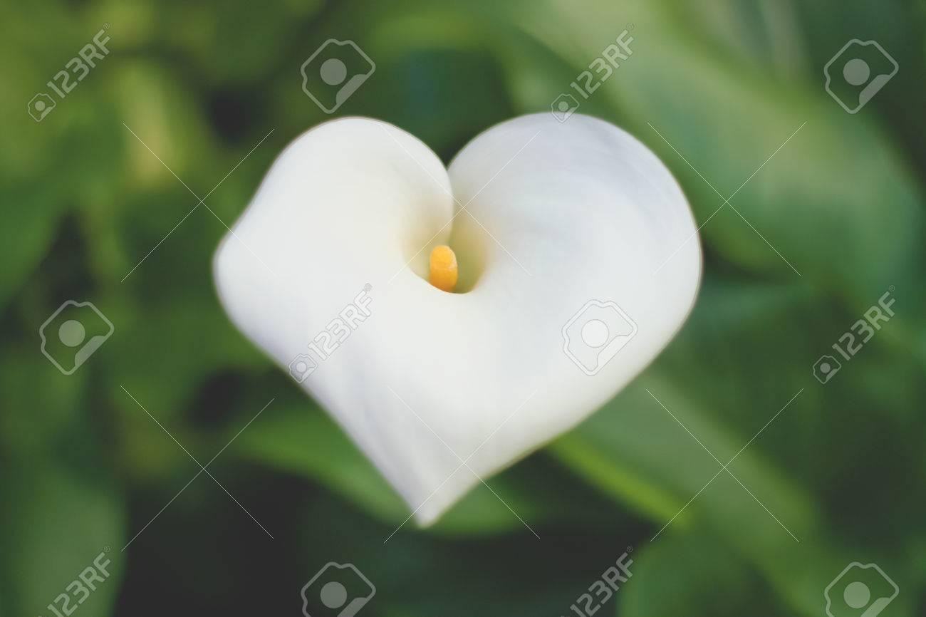En Forma De Corazón De La Flor De La Cala Fotos Retratos Imágenes