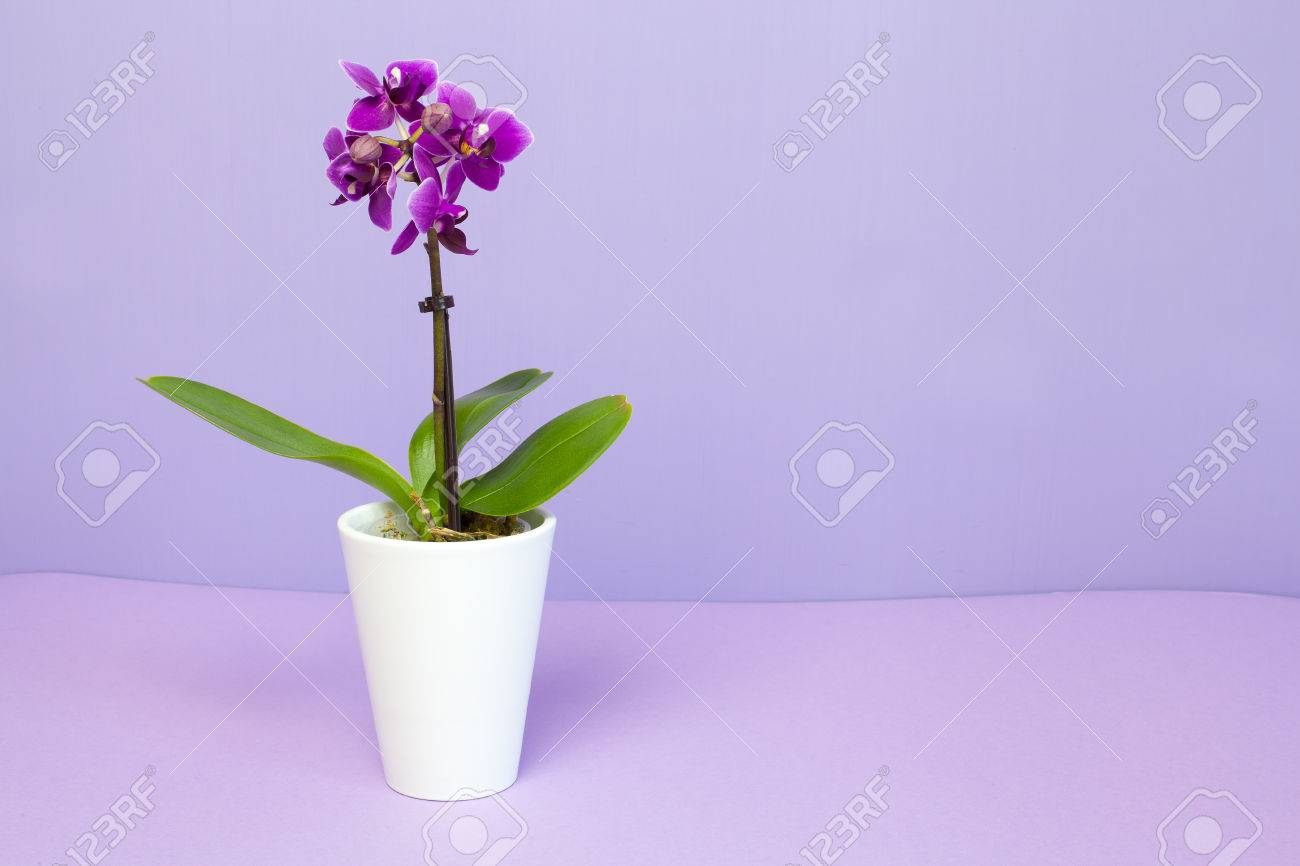 Mini Orchid Plant In A White Pot Isolated On Lilac Stock Photo