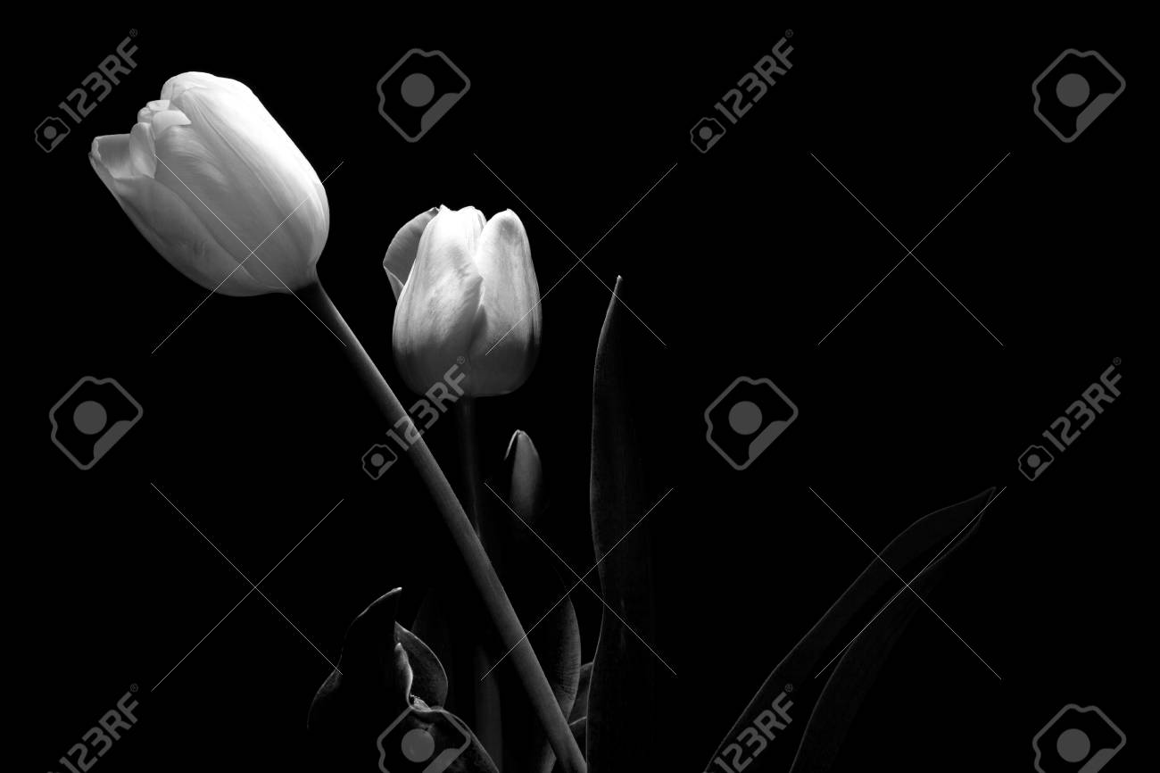 Pink and white tulip portrait under a dim light on black background framing horizontal