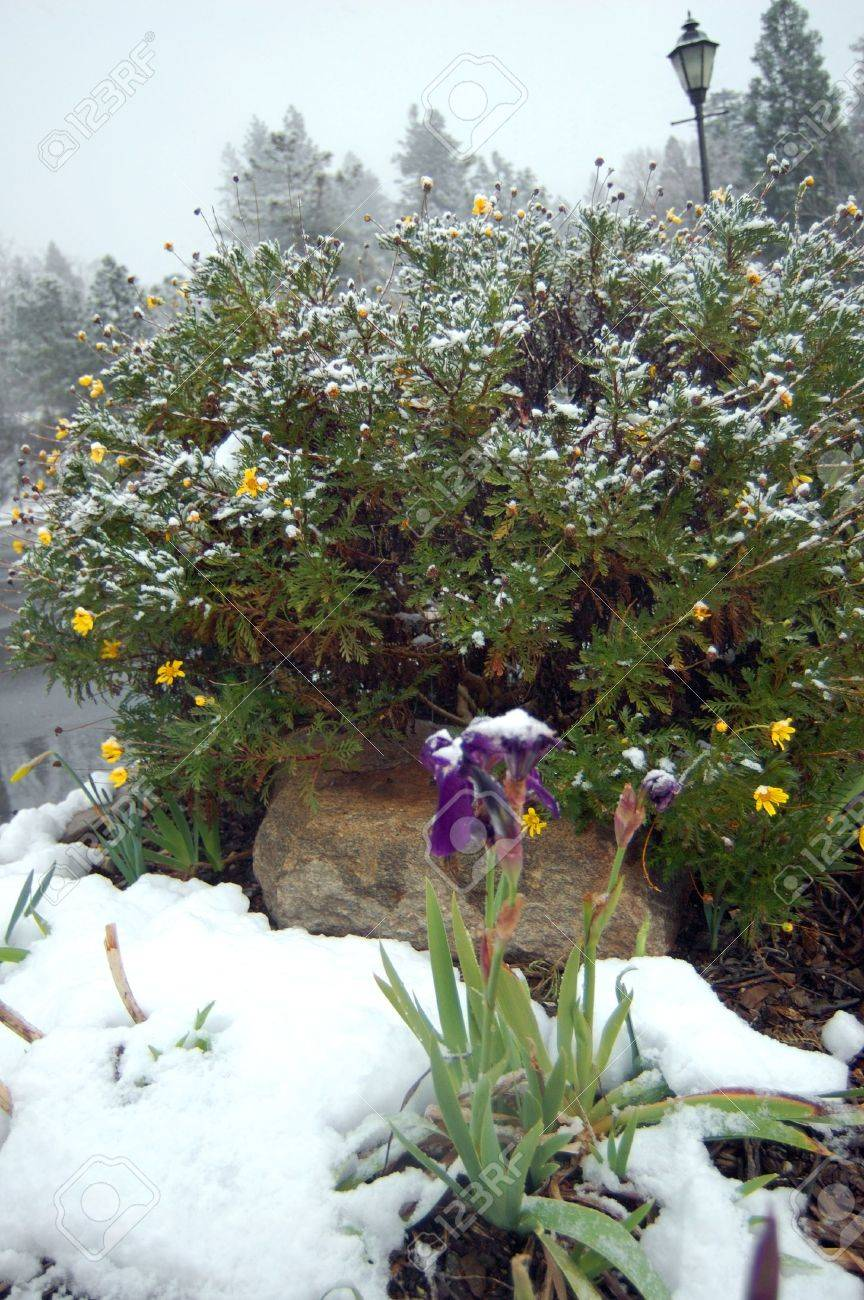 snow covering flowers in early spring in the sierra foothills of northern california Stock Photo - 338833
