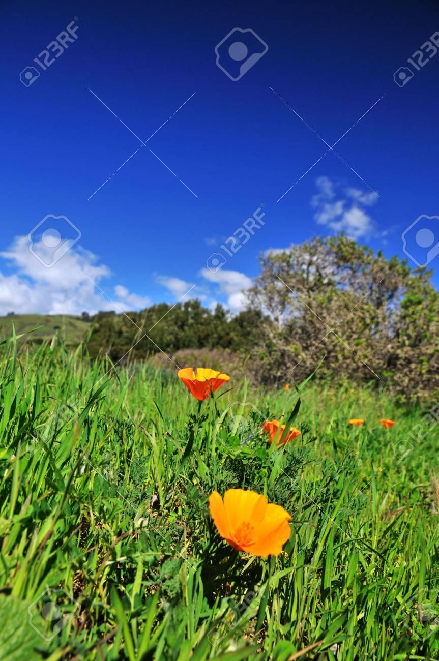 Poppy field in California in the spring time Stock Photo - 4596726