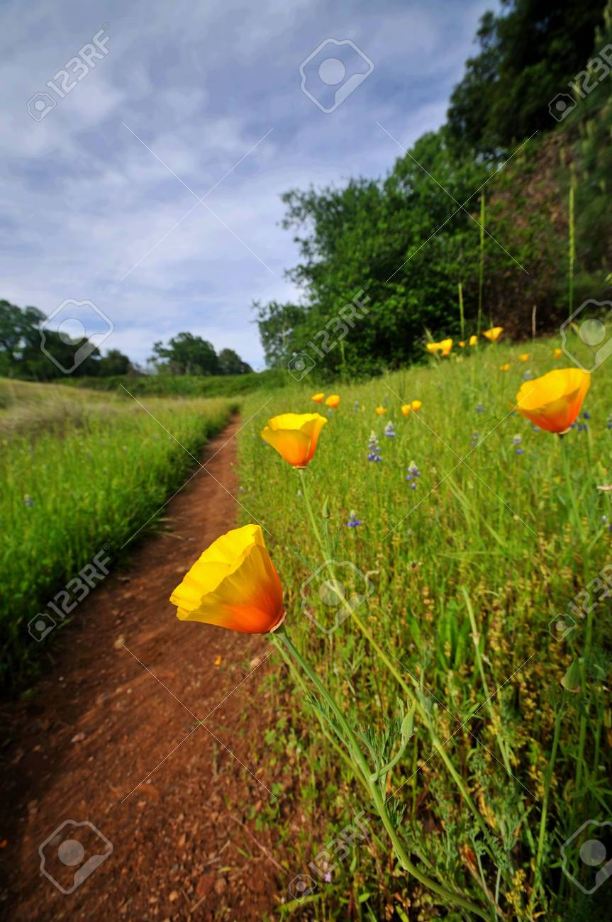 California poppies in a field under a dramatic spring sky Stock Photo - 5164226