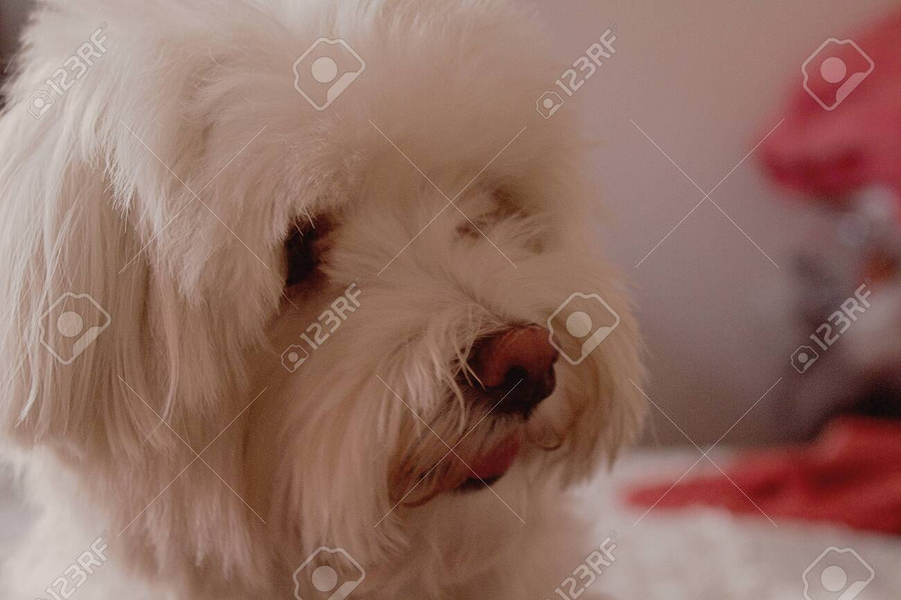 A Cute Cuddle Beautiful Purebred White Maltese Dog Standing On Stock Photo Picture And Royalty Free Image Image 133961811