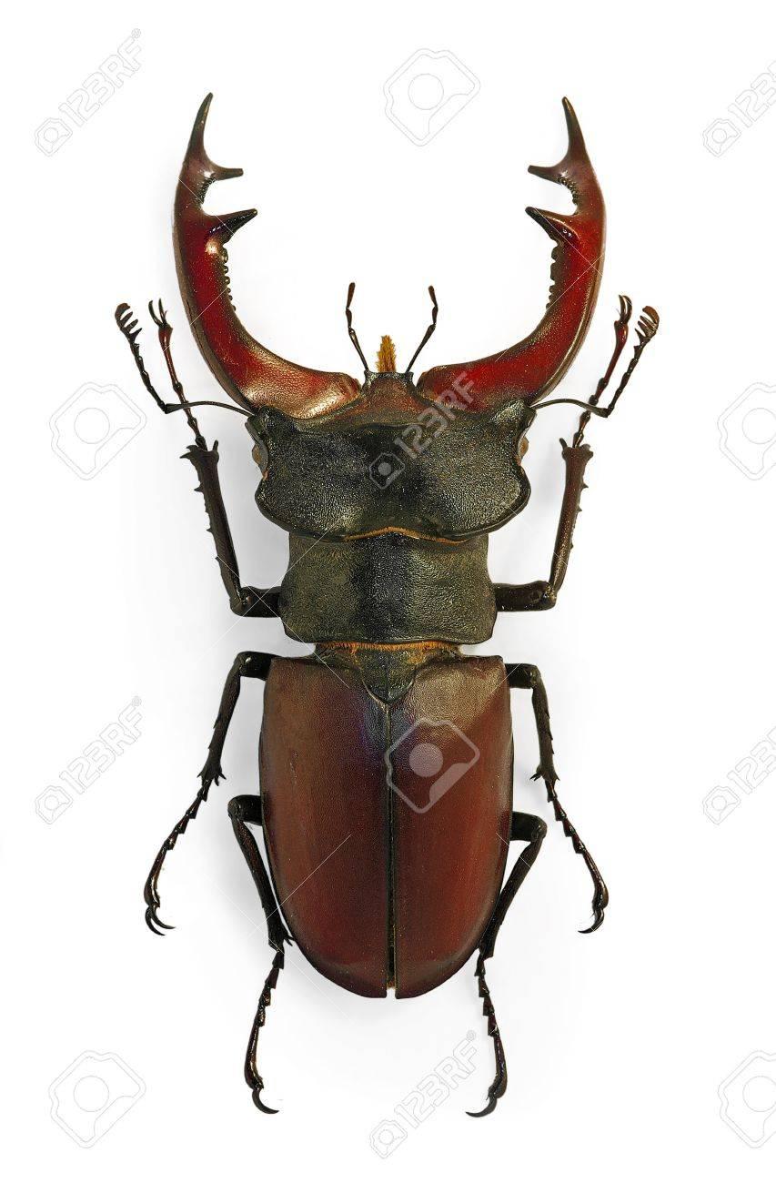 European stag beetle (Lucanus cervus), an endangered species - 12721951