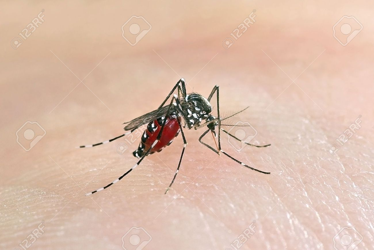Tiger mosquito (Aedes albopictus) full of blood, an alien species spreading exotic diseases in Europe Stock Photo - 13876127