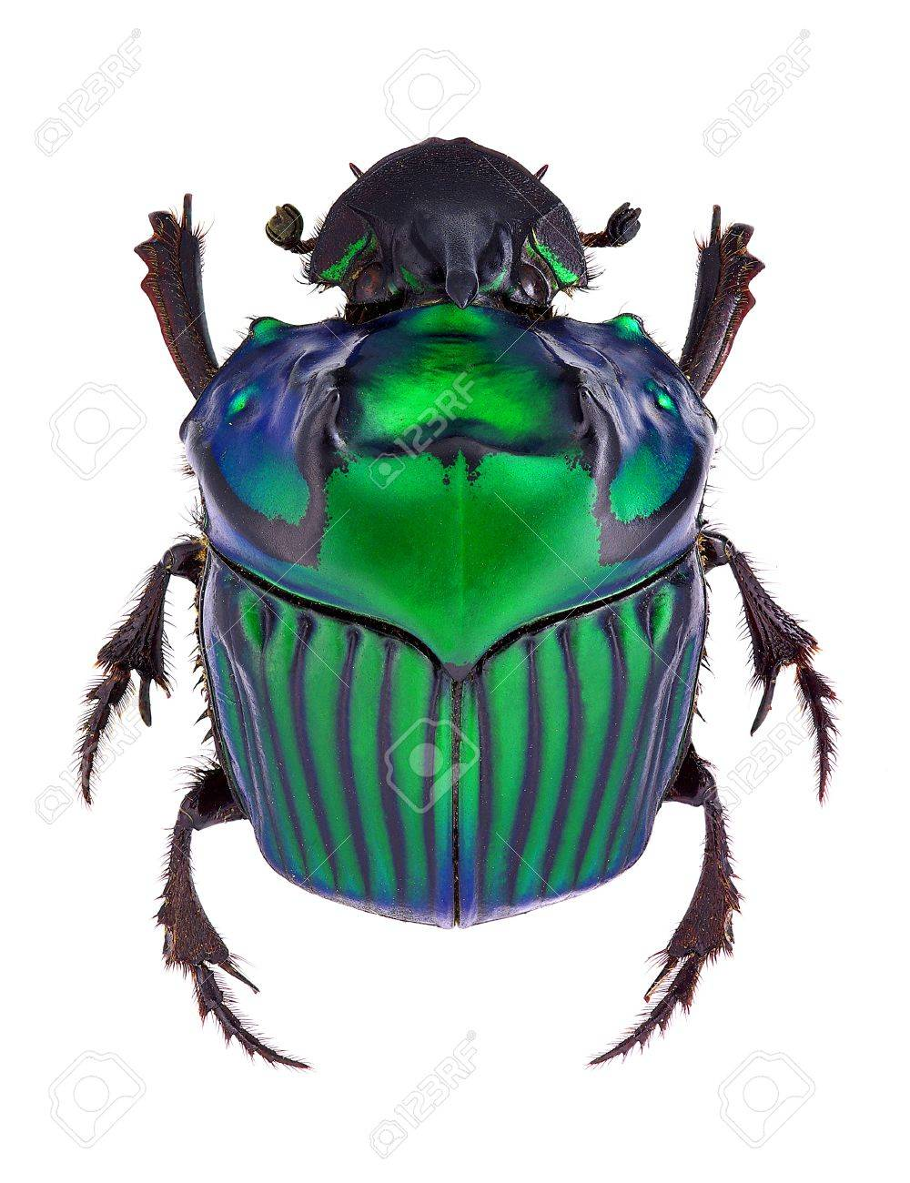Oxysternon conspicillatum, dung beetle from South America, male specimen Standard-Bild - 17689155