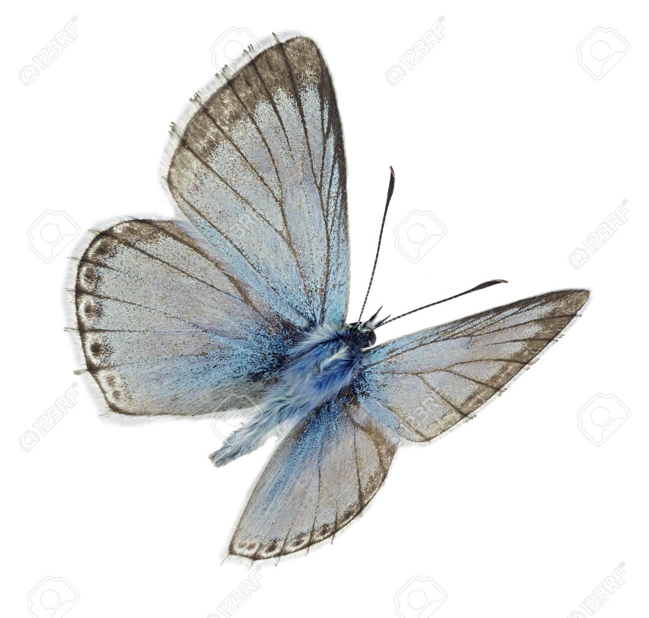 Male Chalkhill blue (Polyommatus coridon) in flight - 134375005