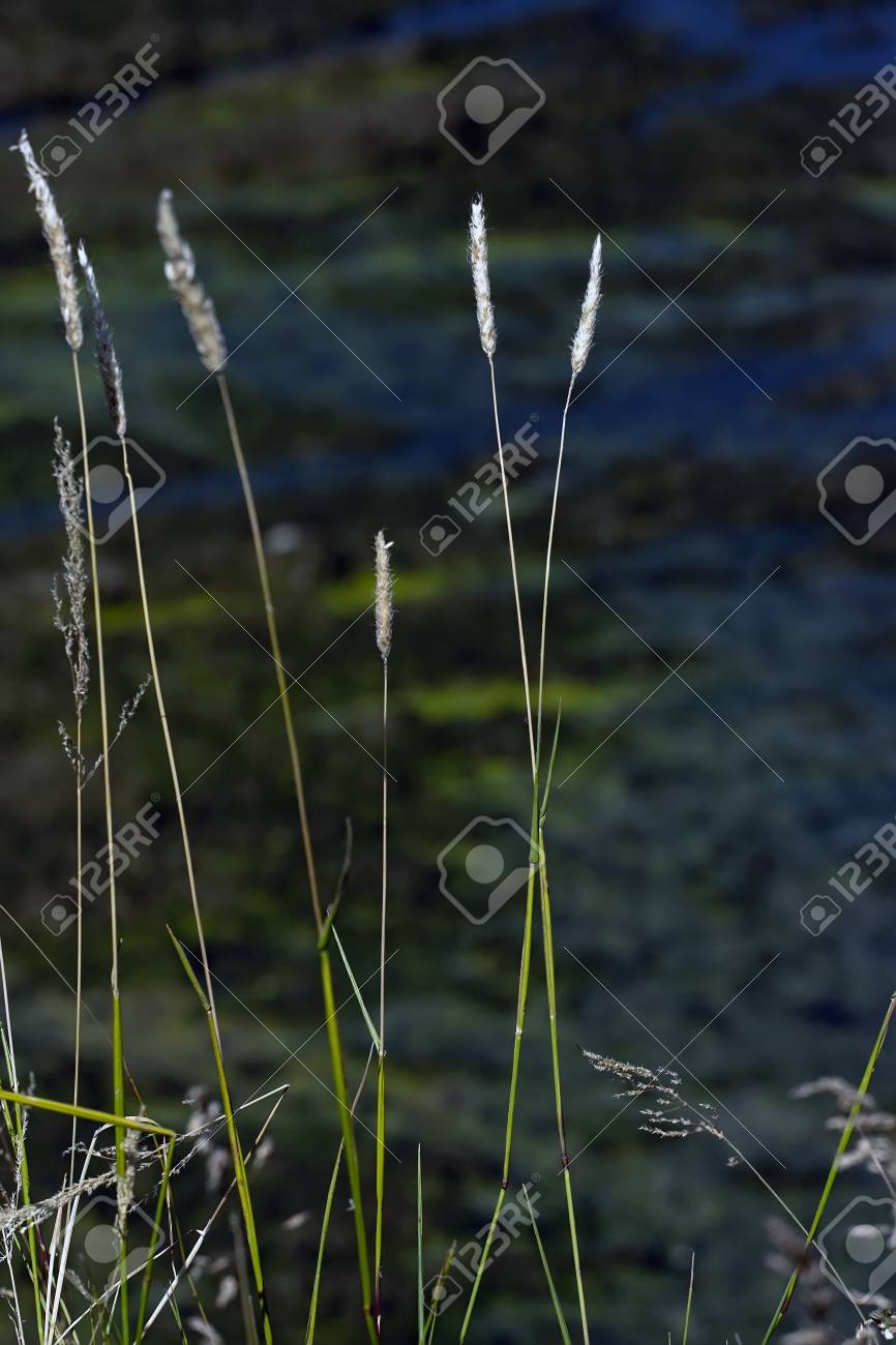 blades of grass over a out of focus rice crop Stock Photo - 9643345