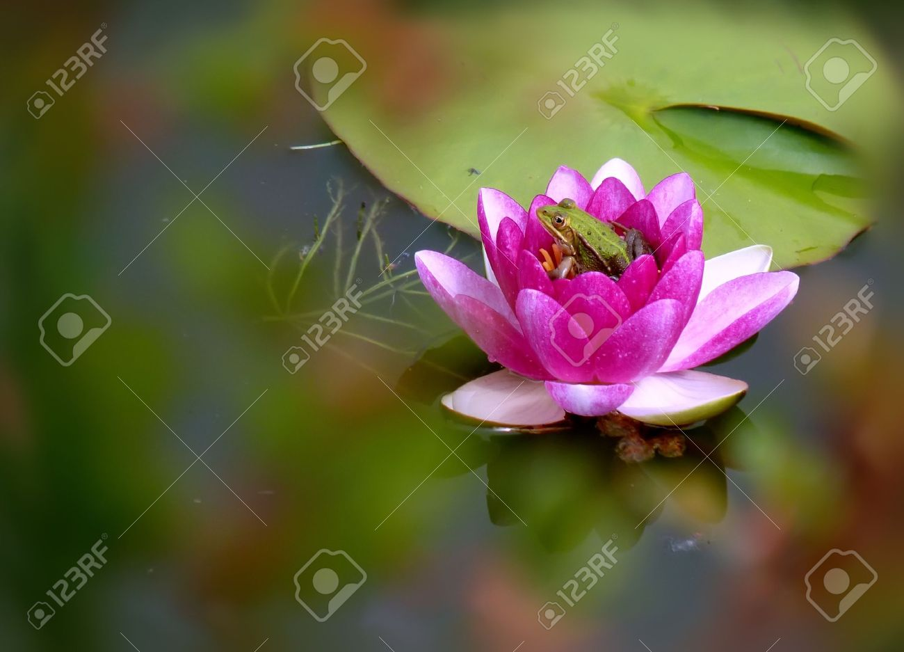 Frog Sitting In A Pink Flower Of Water Lilly Stock Photo Picture