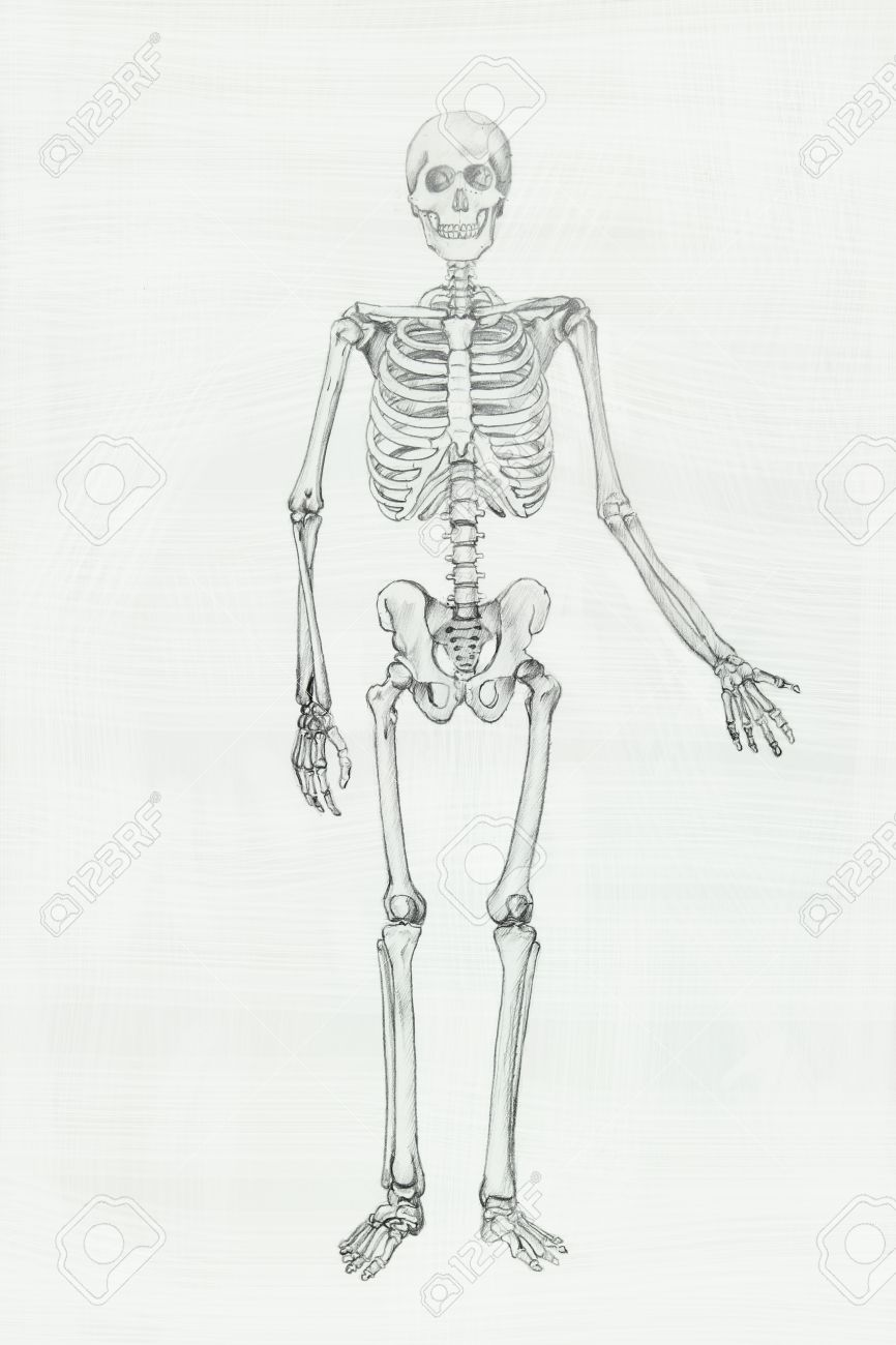 Human anatomy pencil drawing illustration stock illustration 30913843