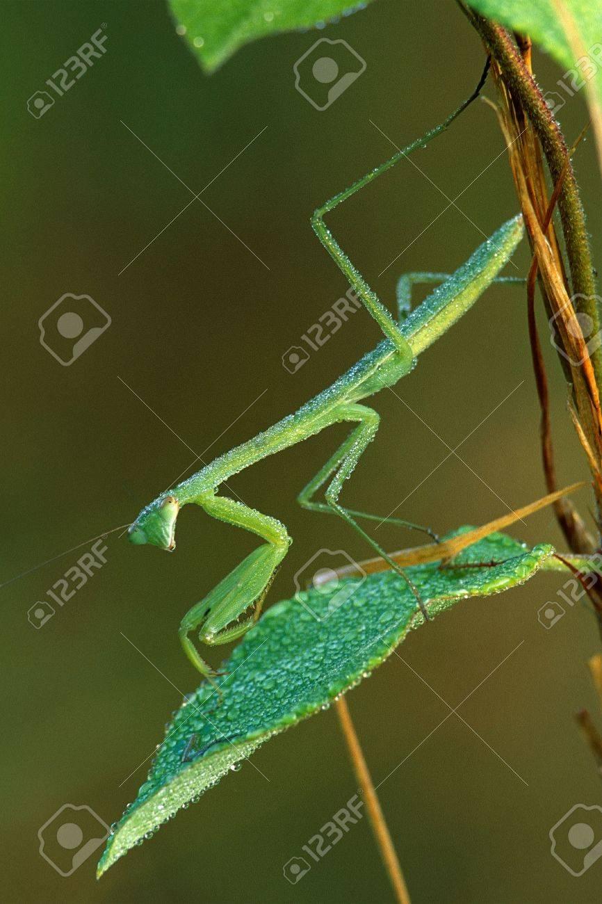 Praying Mantis and Dew Stock Photo - 16401131