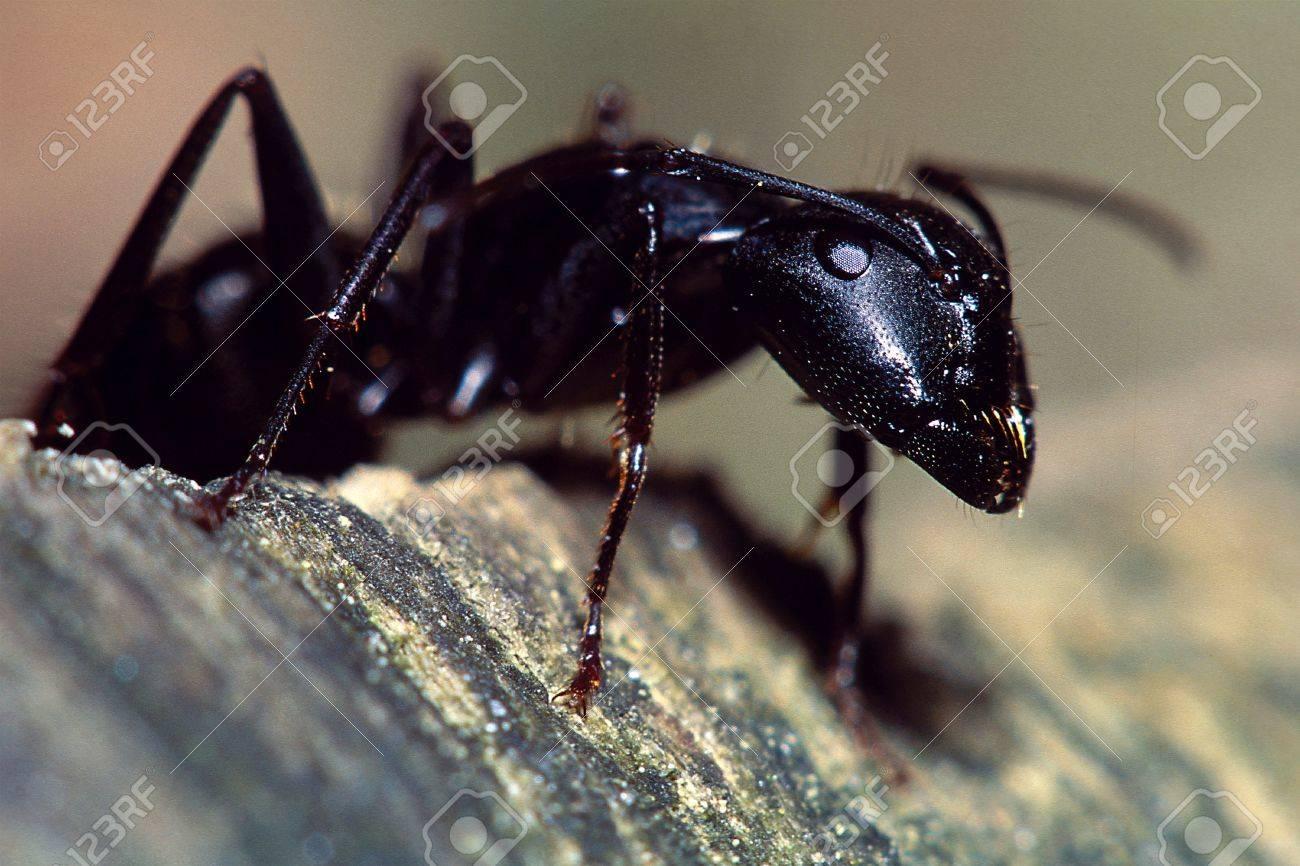 Carpenter Ant Portrait Stock Photo - 16401124