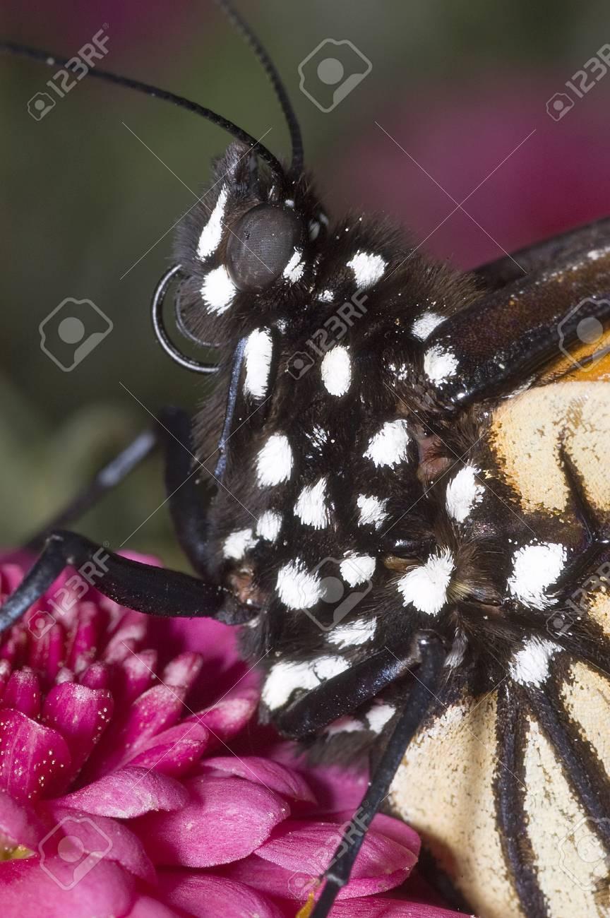 Monarch Butterfly Portrait Stock Photo - 16710875