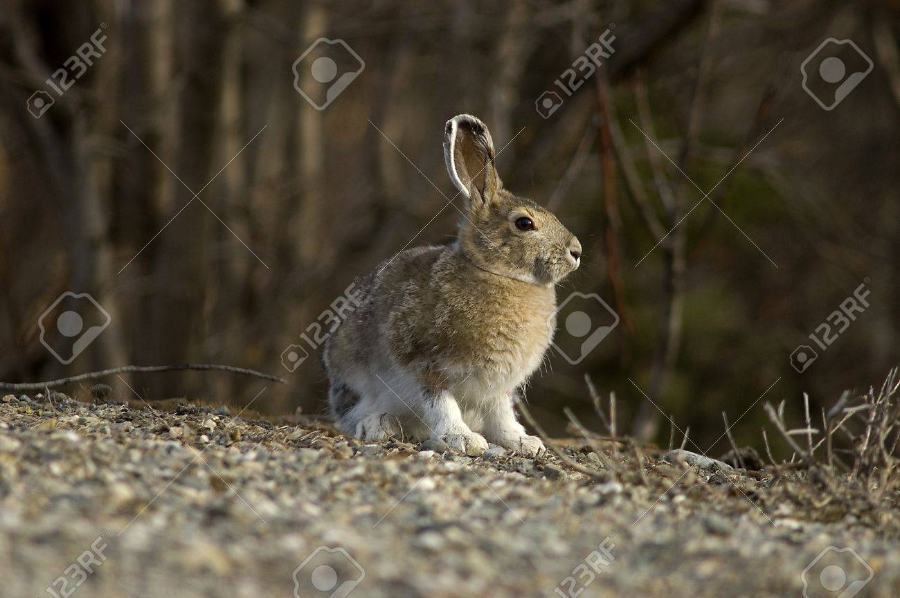 A portrait of a Snowshoe Hare in Summer color Stock Photo - 16879820