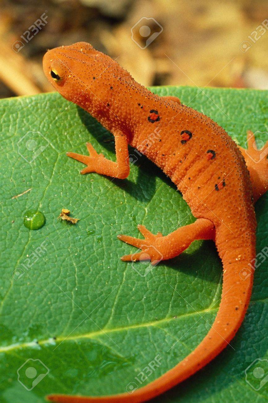 Red Spotted Newt, or Eastern Newt, on Green Leaf Stock Photo - 16879852