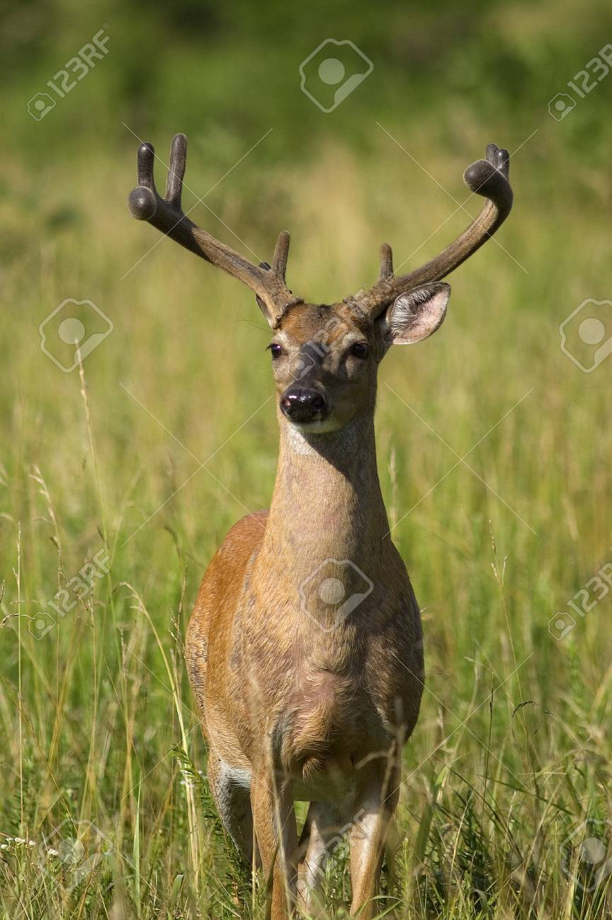 Portrait of a White Tailed Deer in a field at the edge of a forest Stock Photo - 16930085