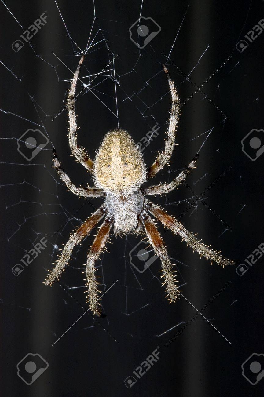 Barn spider, Araneus cavaticus, dorsal view, on web Stock Photo - 17008462
