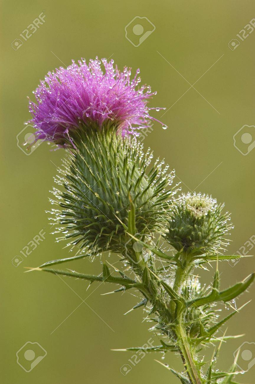 Close-up of a Bull Thistle, Cirsium vulgare, blossom with dew Stock Photo - 17008461