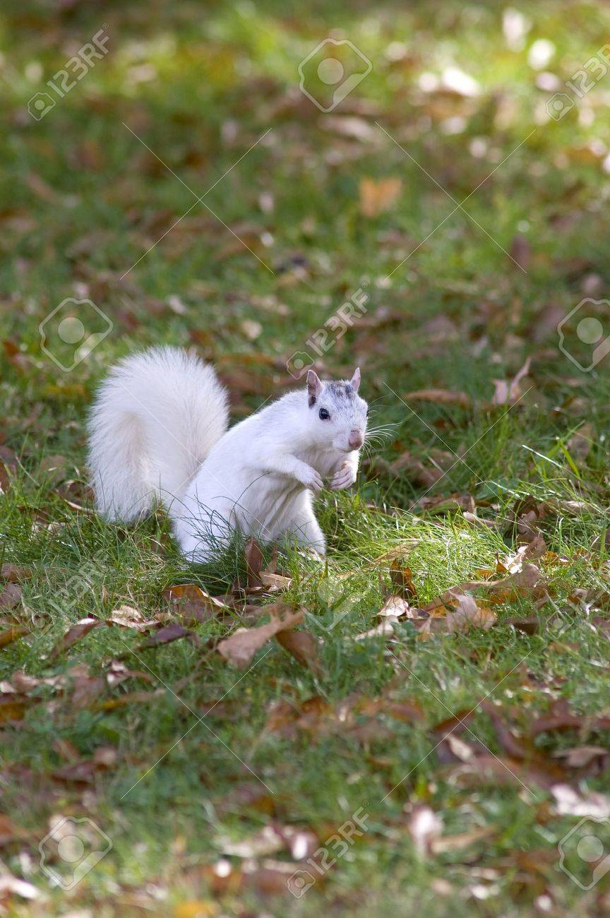 A white squirrel from Brevard, NC in a grassy field Stock Photo - 17034336