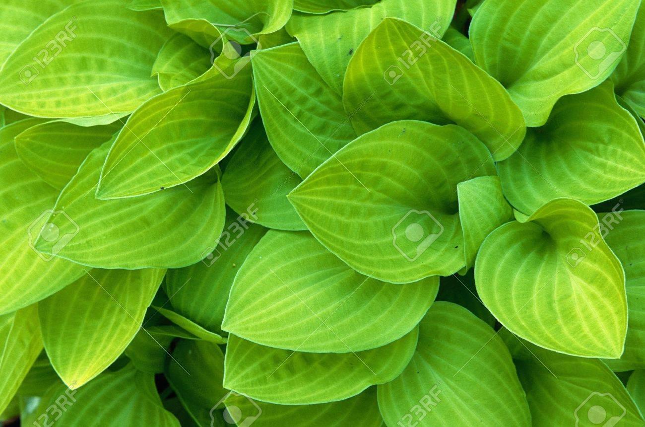 Light green hosta leaves filling the frame Stock Photo - 17034386