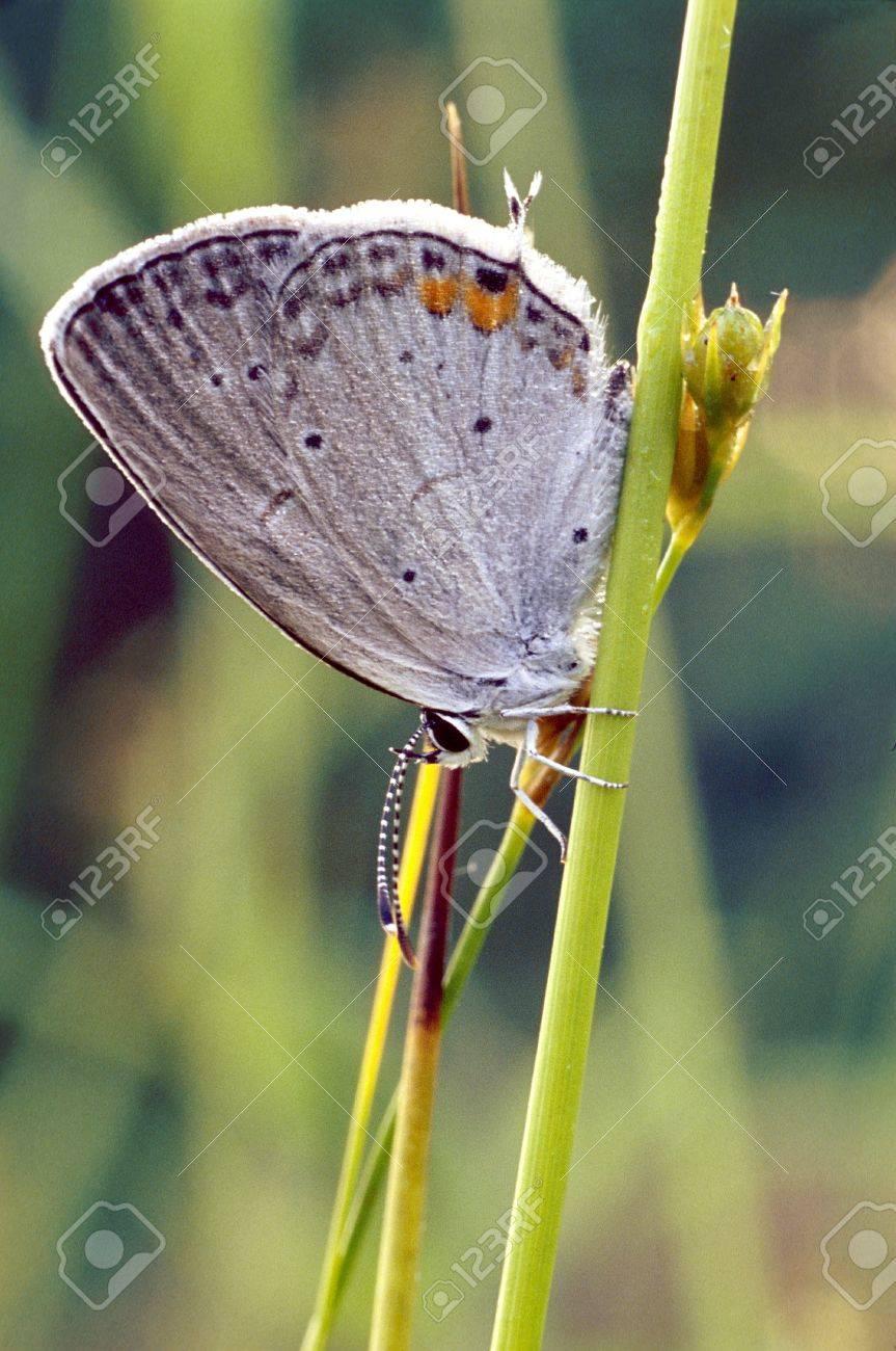 Gray Hairstreak Butterfly on grass stem Stock Photo - 17081176