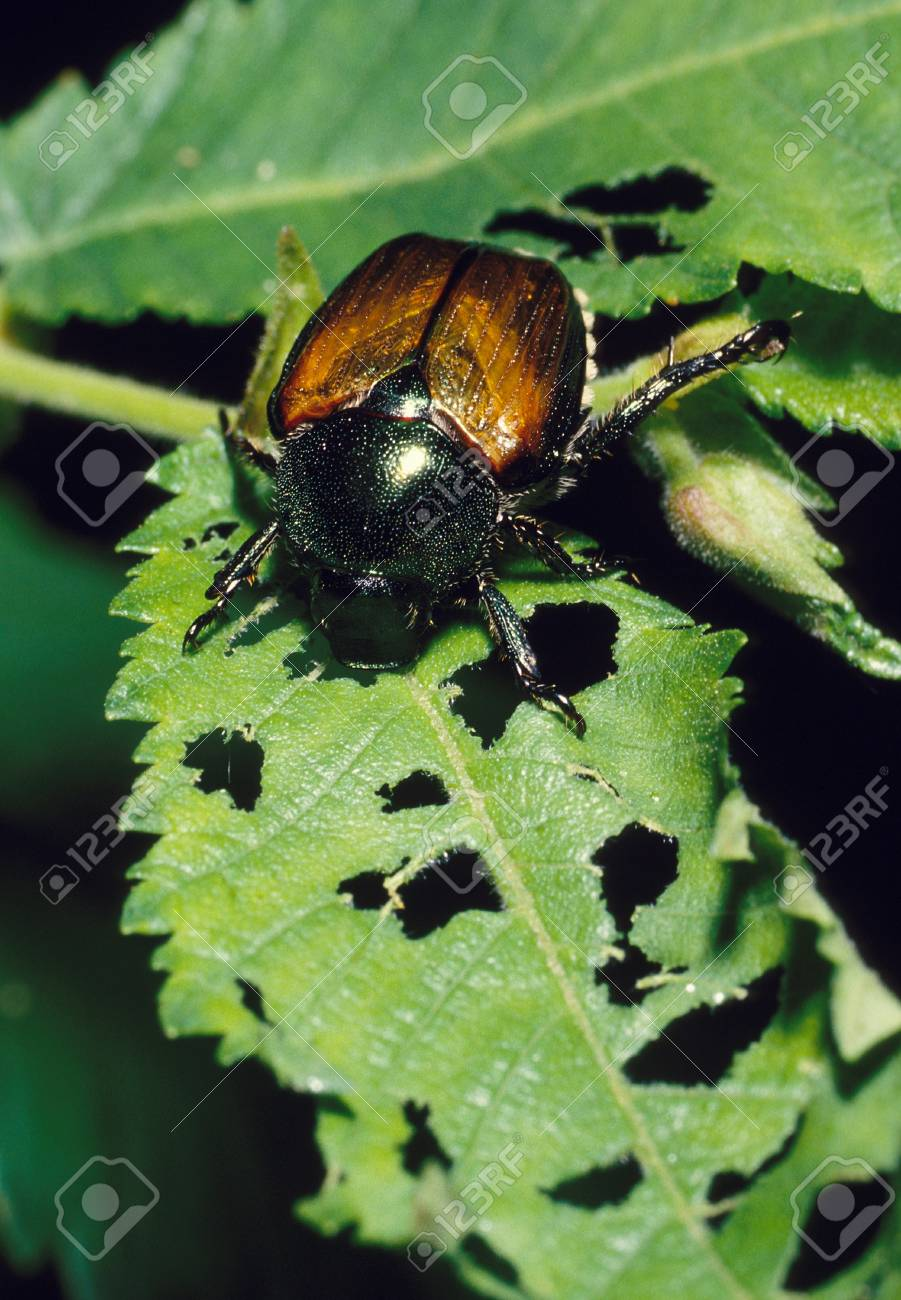 Japanese Beetle destroying a plant leaf Stock Photo - 17731089