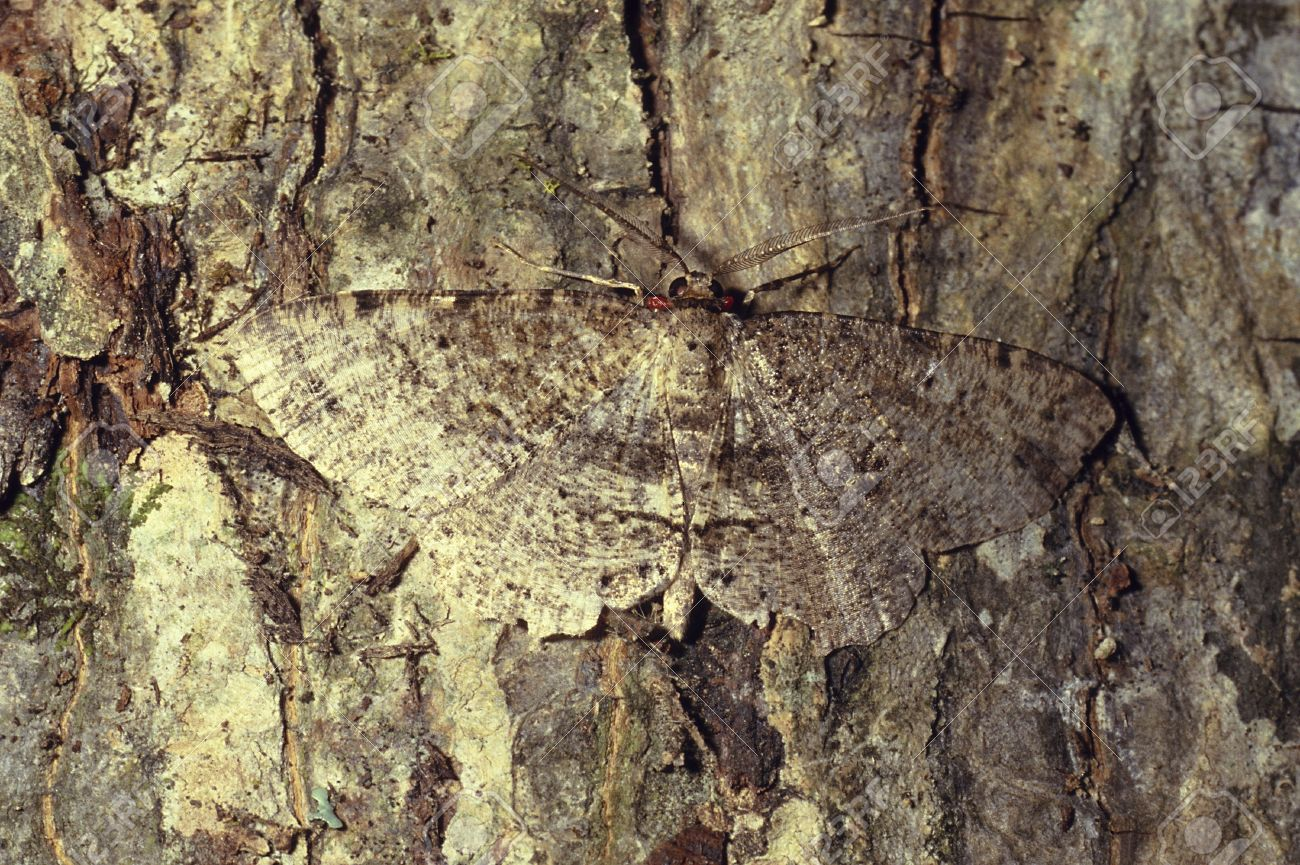 A brown mottled colored moth camouflaged on tree Stock Photo - 17731393