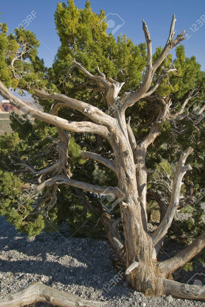California Juniper growing at Red Rock Canyon, Nevada Stock Photo - 18704825