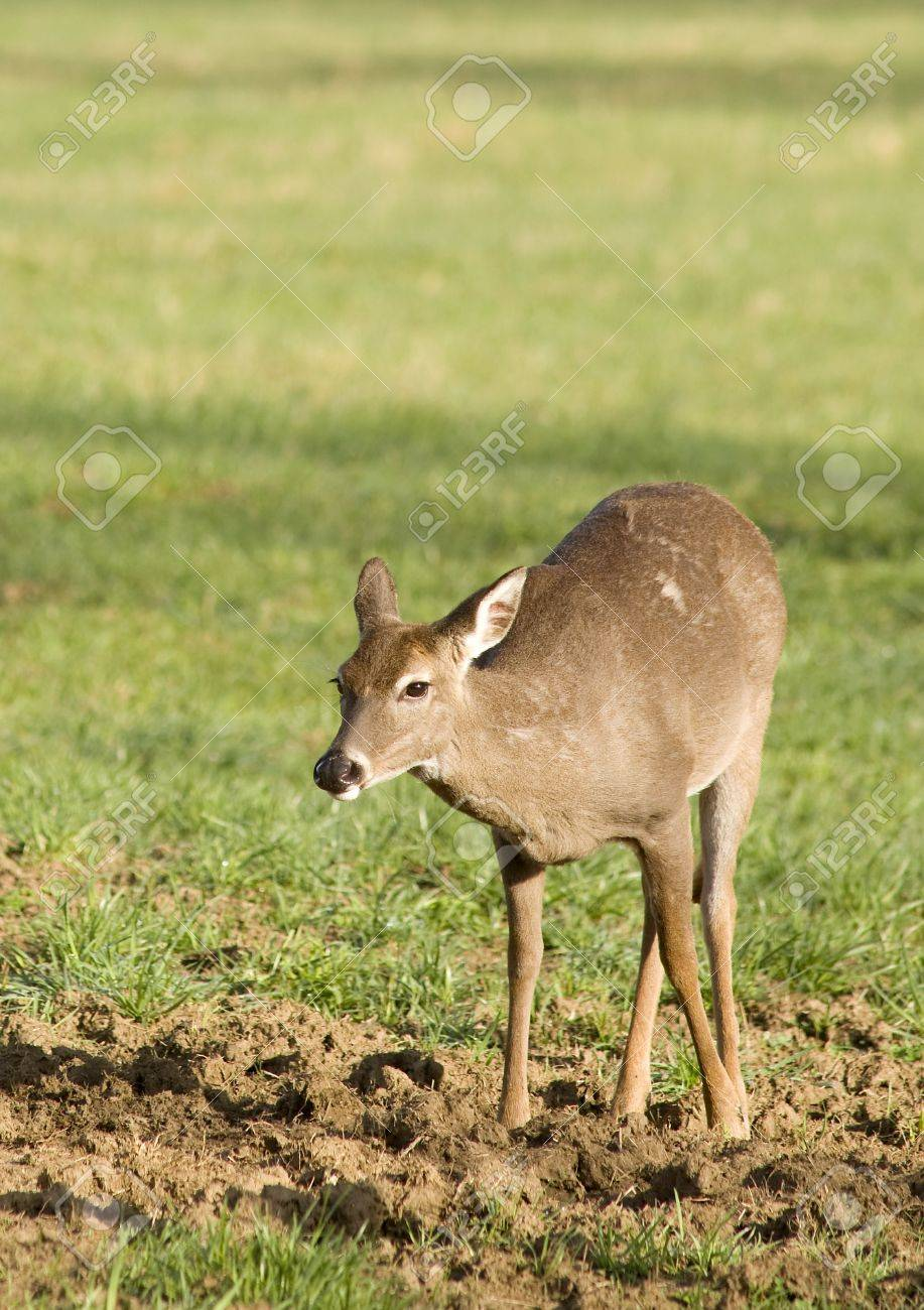 A White Tailed Deer (Odocoileus virginianus) in a field Stock Photo - 19255005