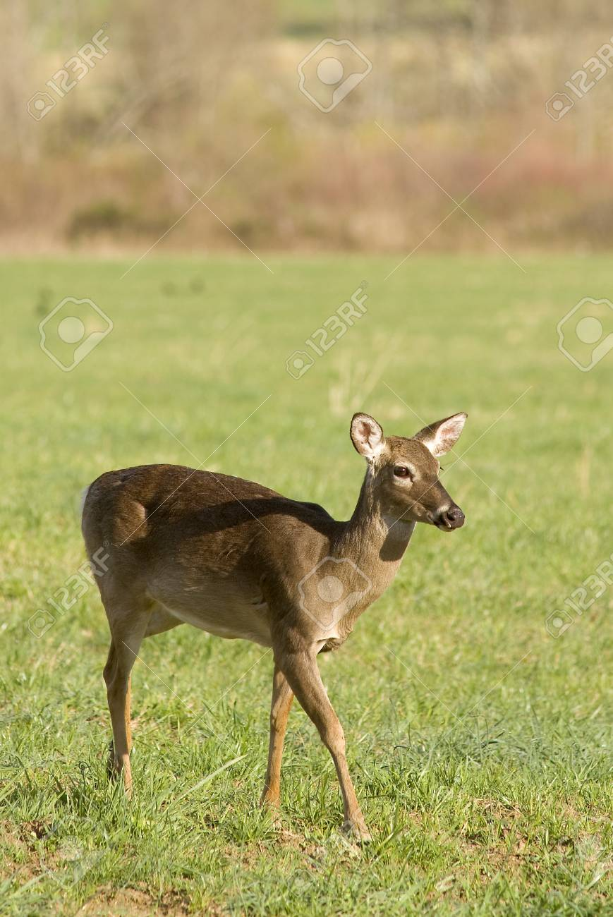 A White Tailed Deer (Odocoileus virginianus) in a field Stock Photo - 19254993